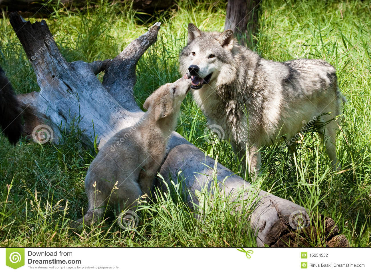The Grey Wolf Pups