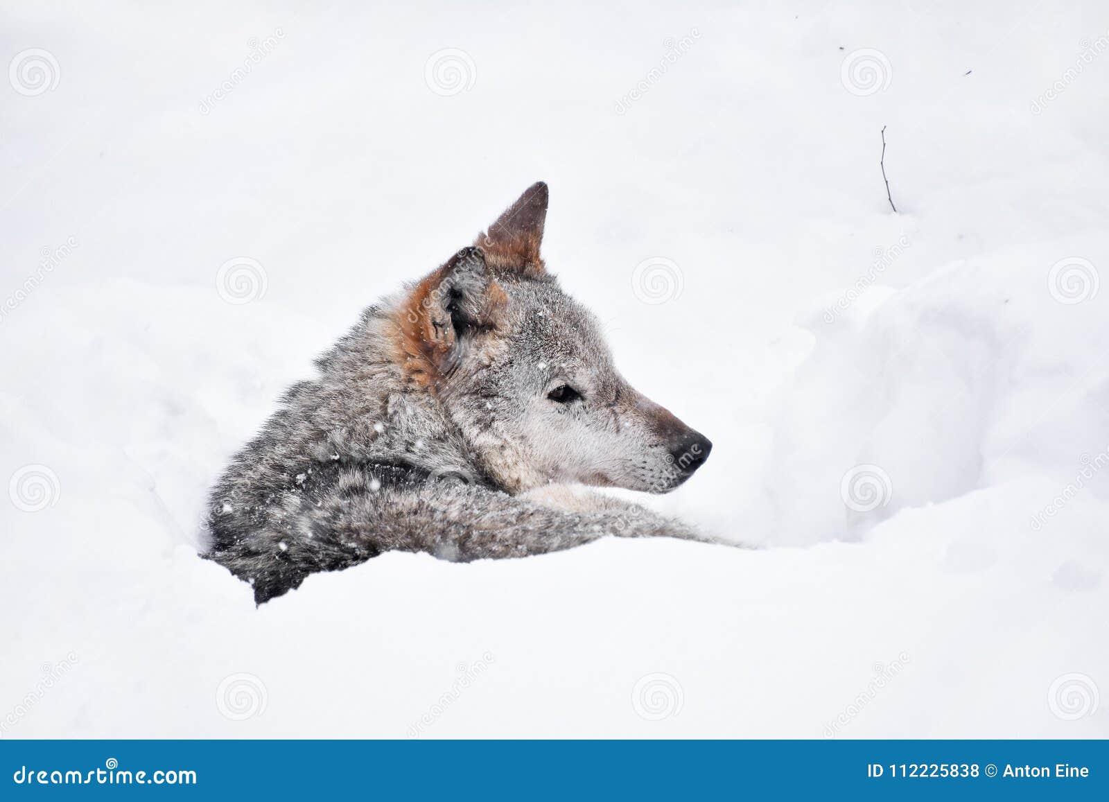 Grey wolf resting in deep snow winter den lair