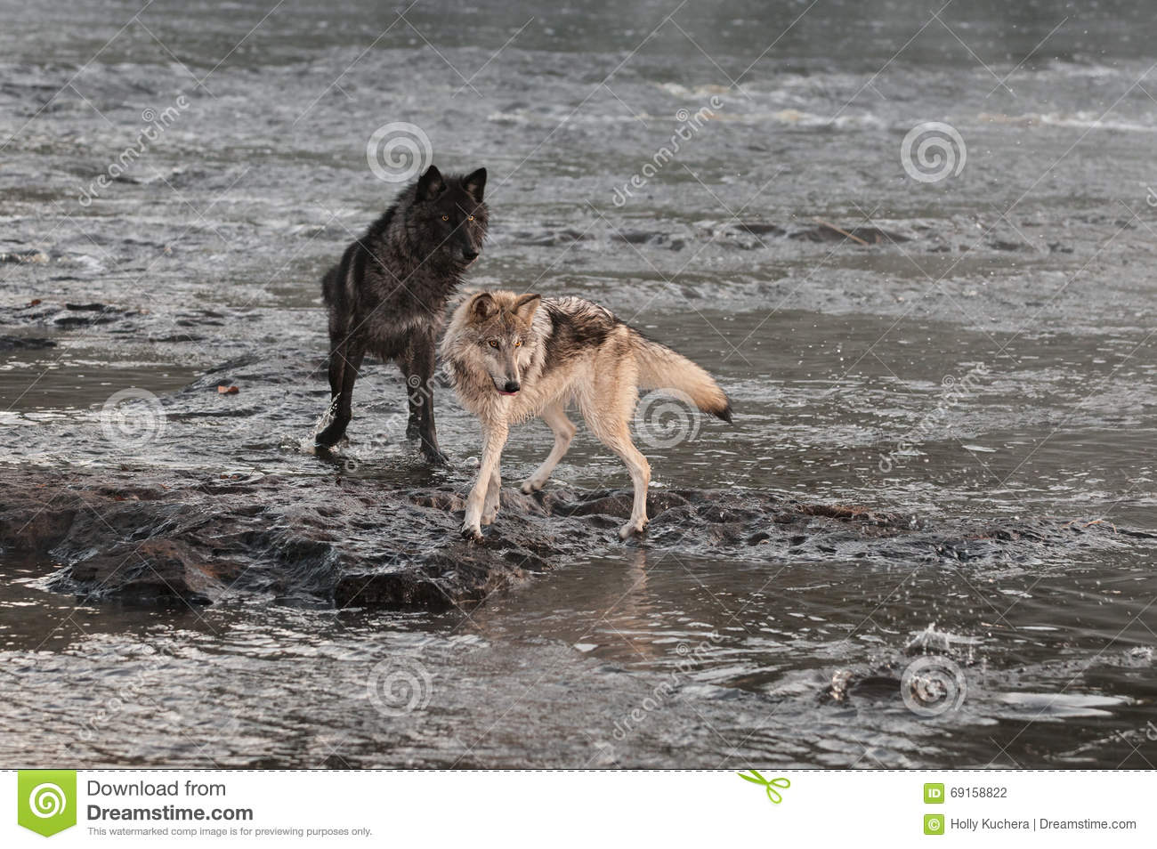 Download Grey Wolves (Canis Lupus) Turn To Look At Splash Stock Photo - Image of animal, outdoors: 69158822