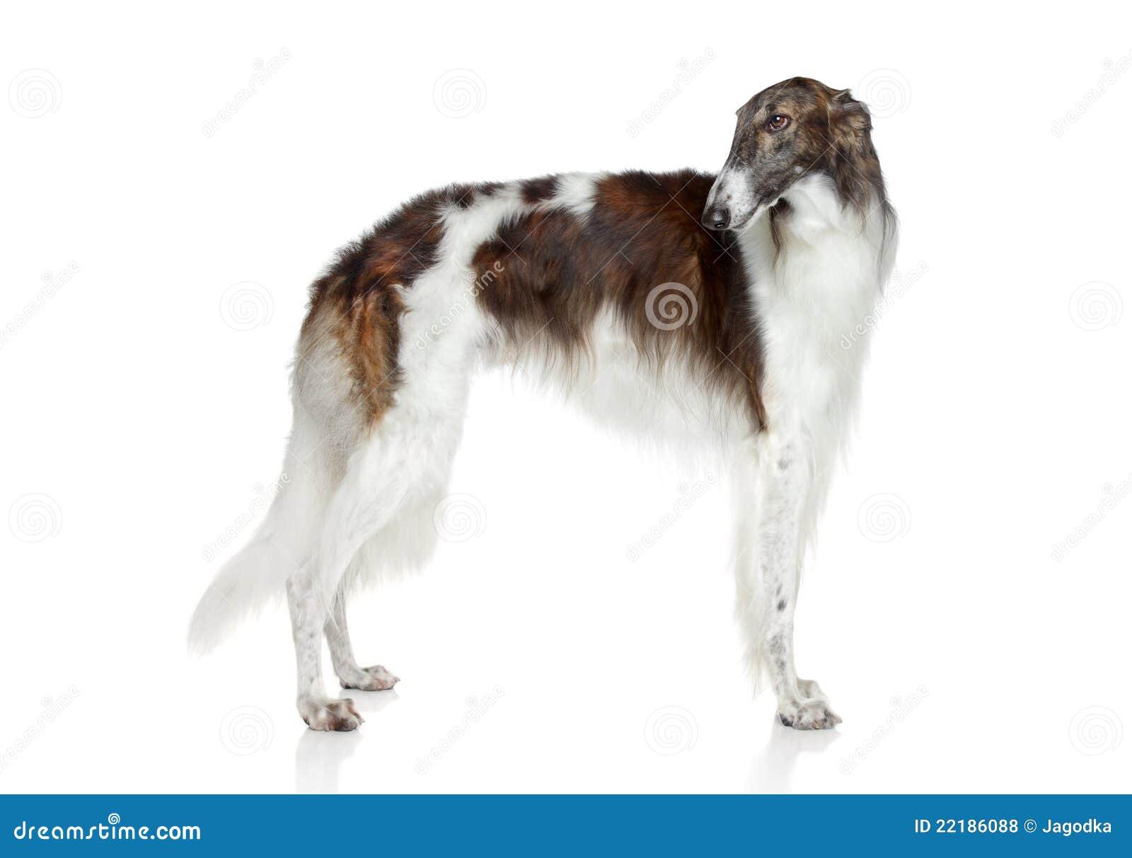 Greyhound ρωσικά σκυλιών borzoi