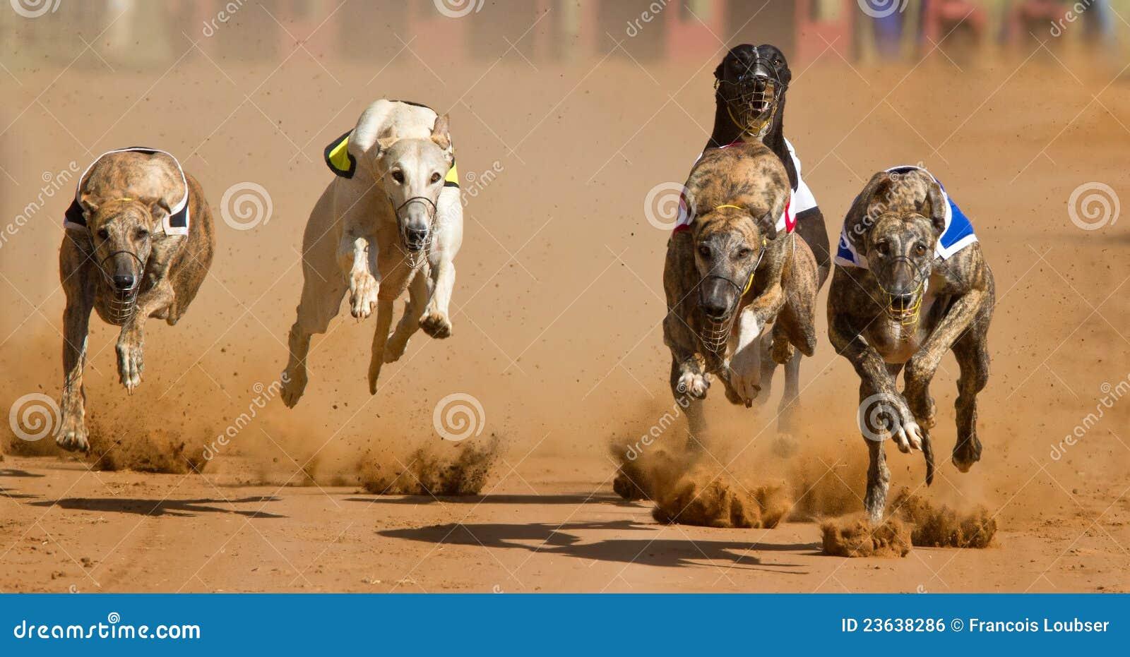 Greyhound φυλή