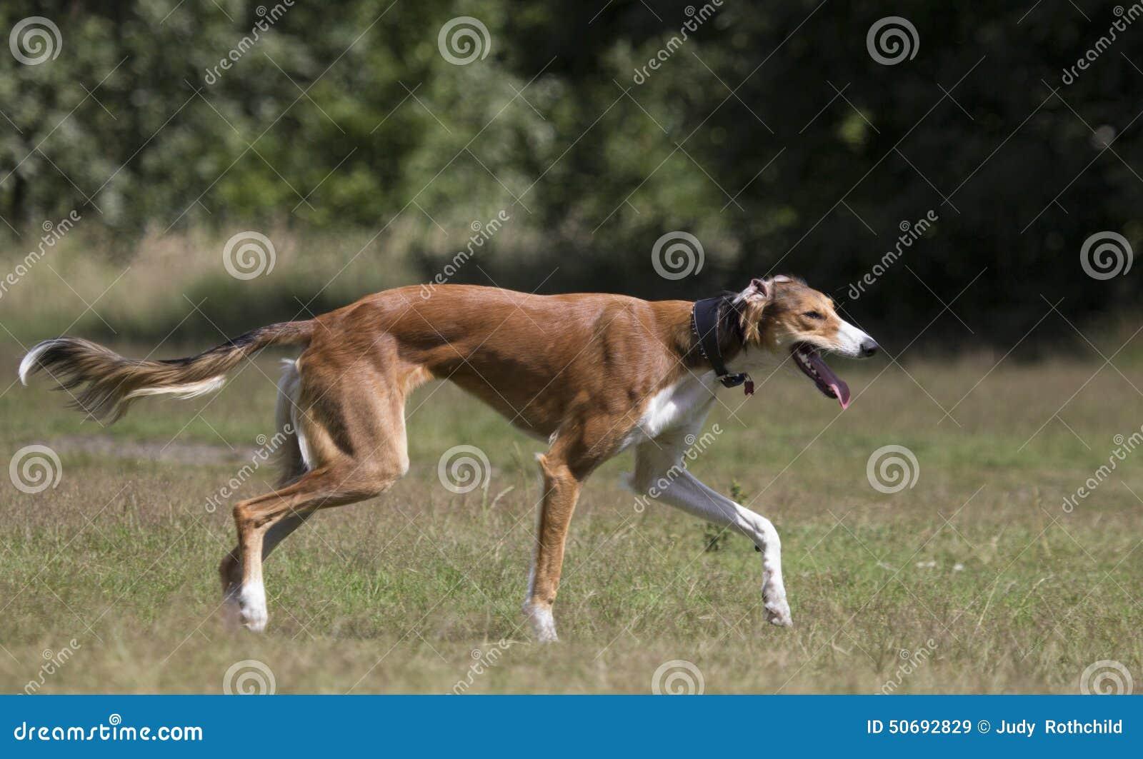 Greyhound Dog Hunting Videos Download