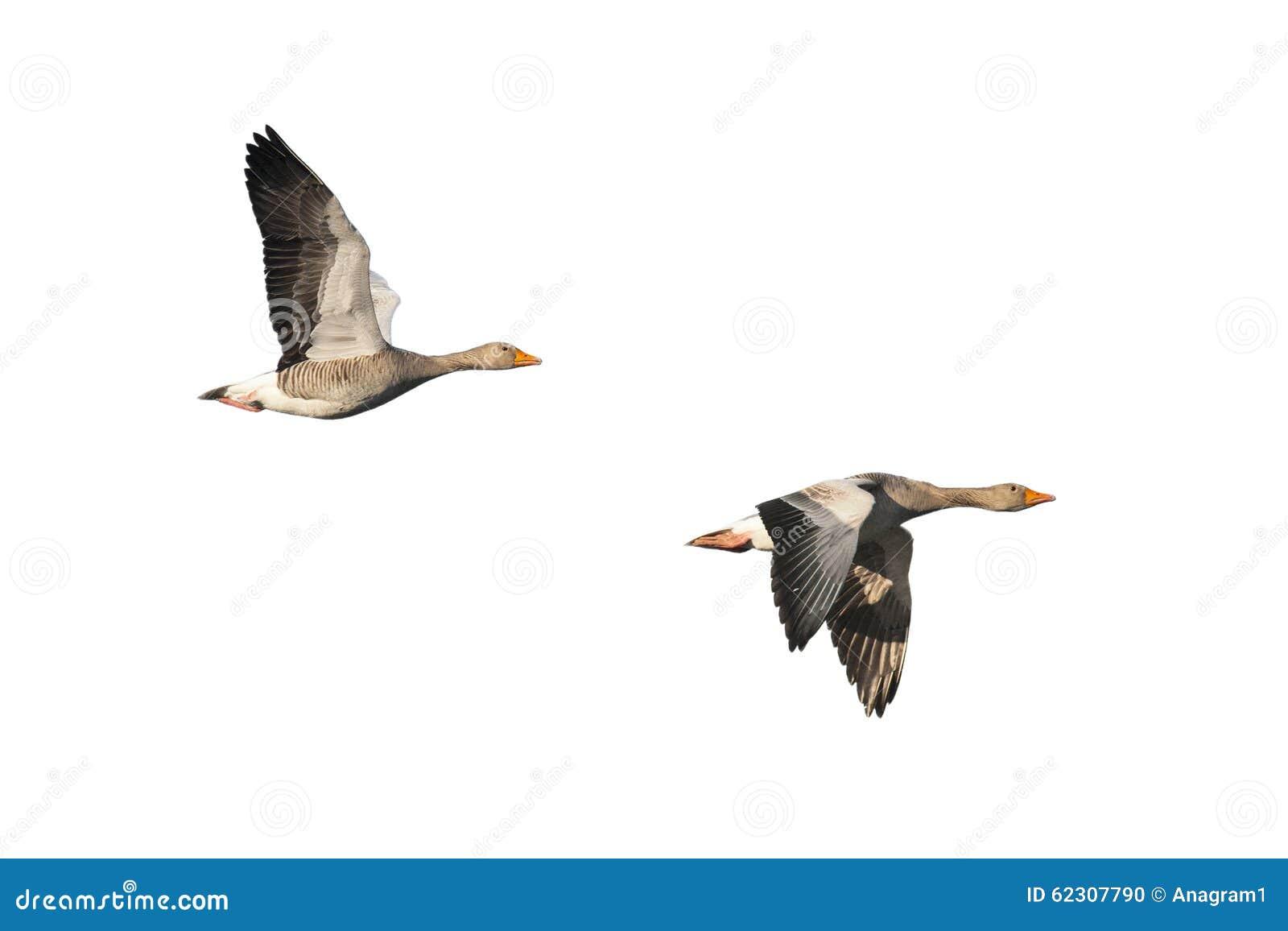 Greylag ganzen tijdens de vlucht