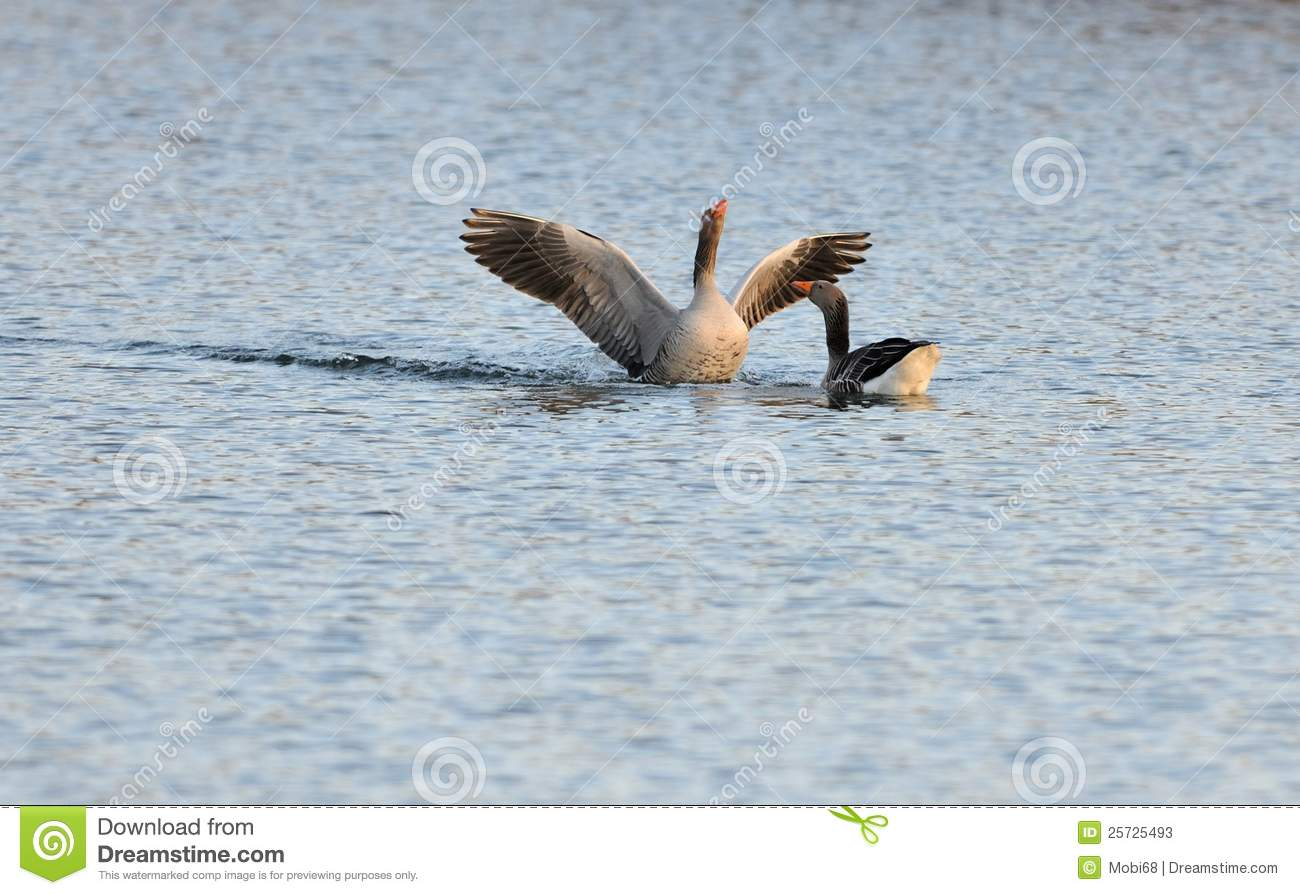 Greylag geese during courtship
