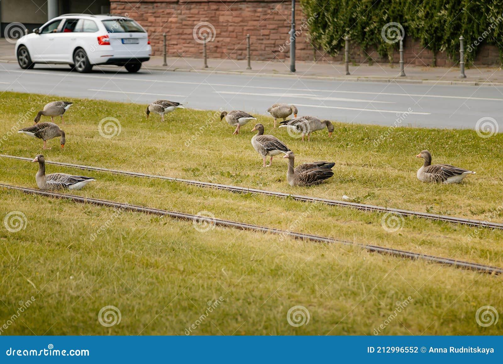 greylag-geese-green-meadow-city-tram-rails-summer-birds-territory-near-residential-areas-eco-friendly-environment-212996552.jpg