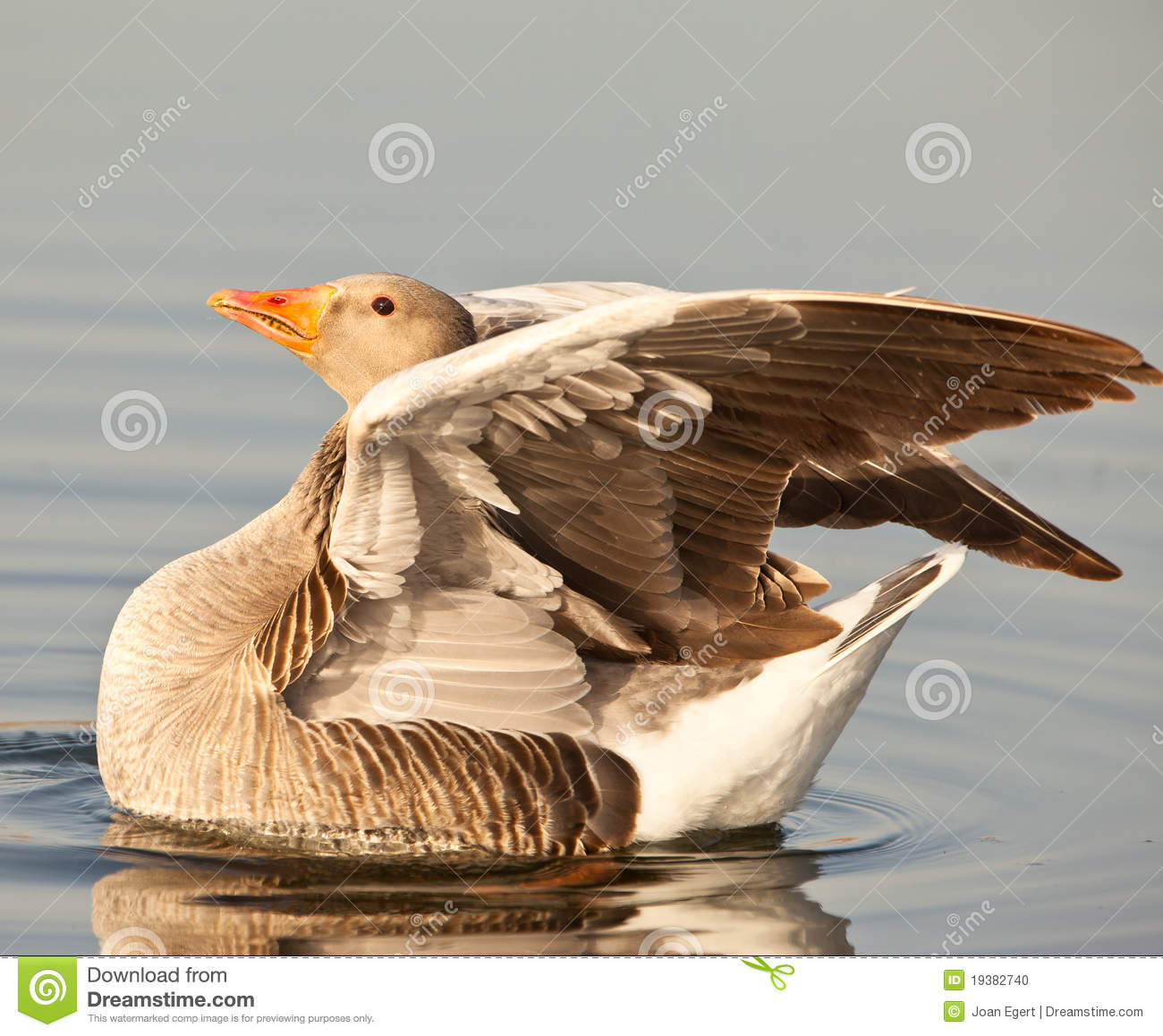A Greylag Goose in the evening sun