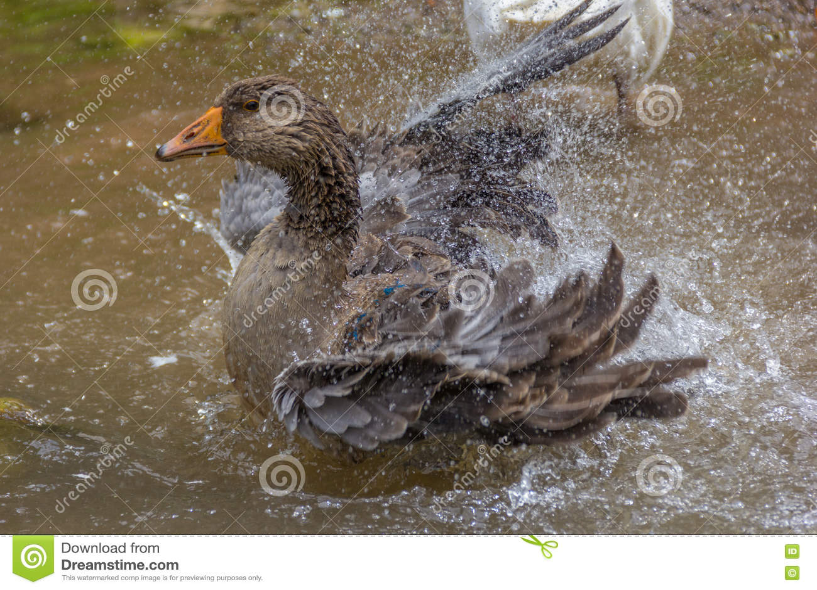 Greylag goose preening and splashing in the water