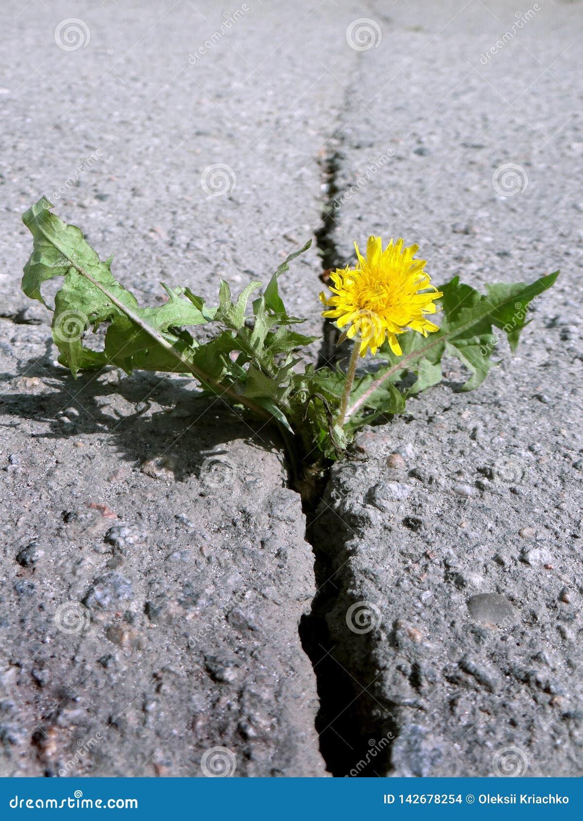 Grieta profunda en el asfalto Diente de león floreciente que crece en la grieta de una carretera de asfalto primer