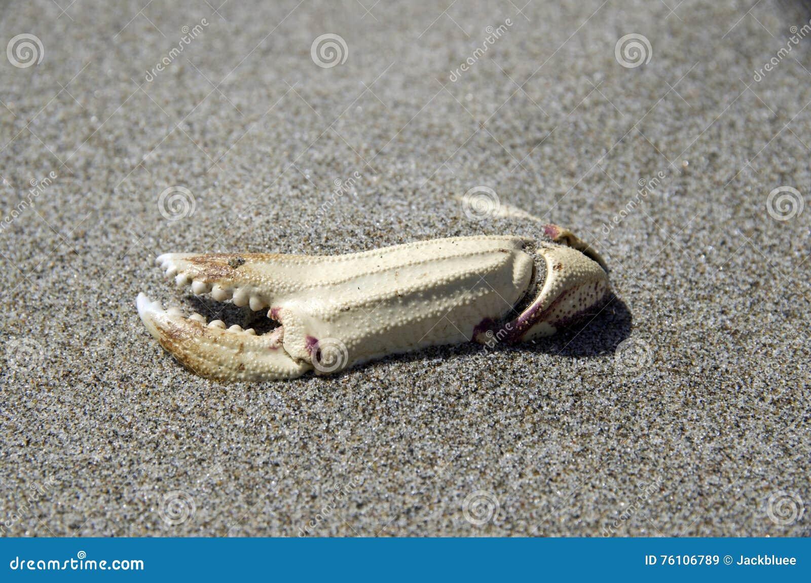 Griffe de crabe sur la plage fine de sable