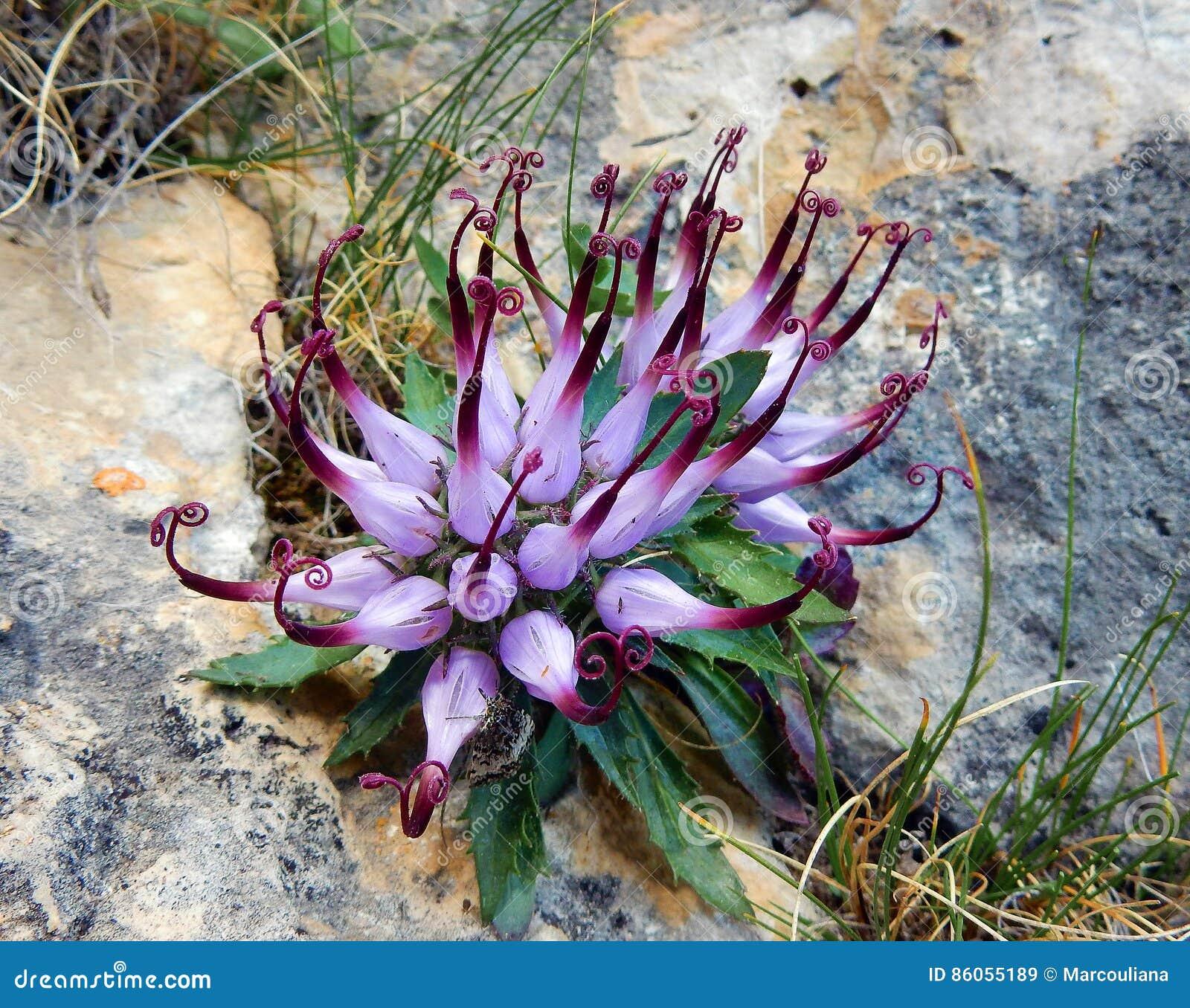 Griffe de Devil's de comosa de Physoplexis, une fleur alpine rare