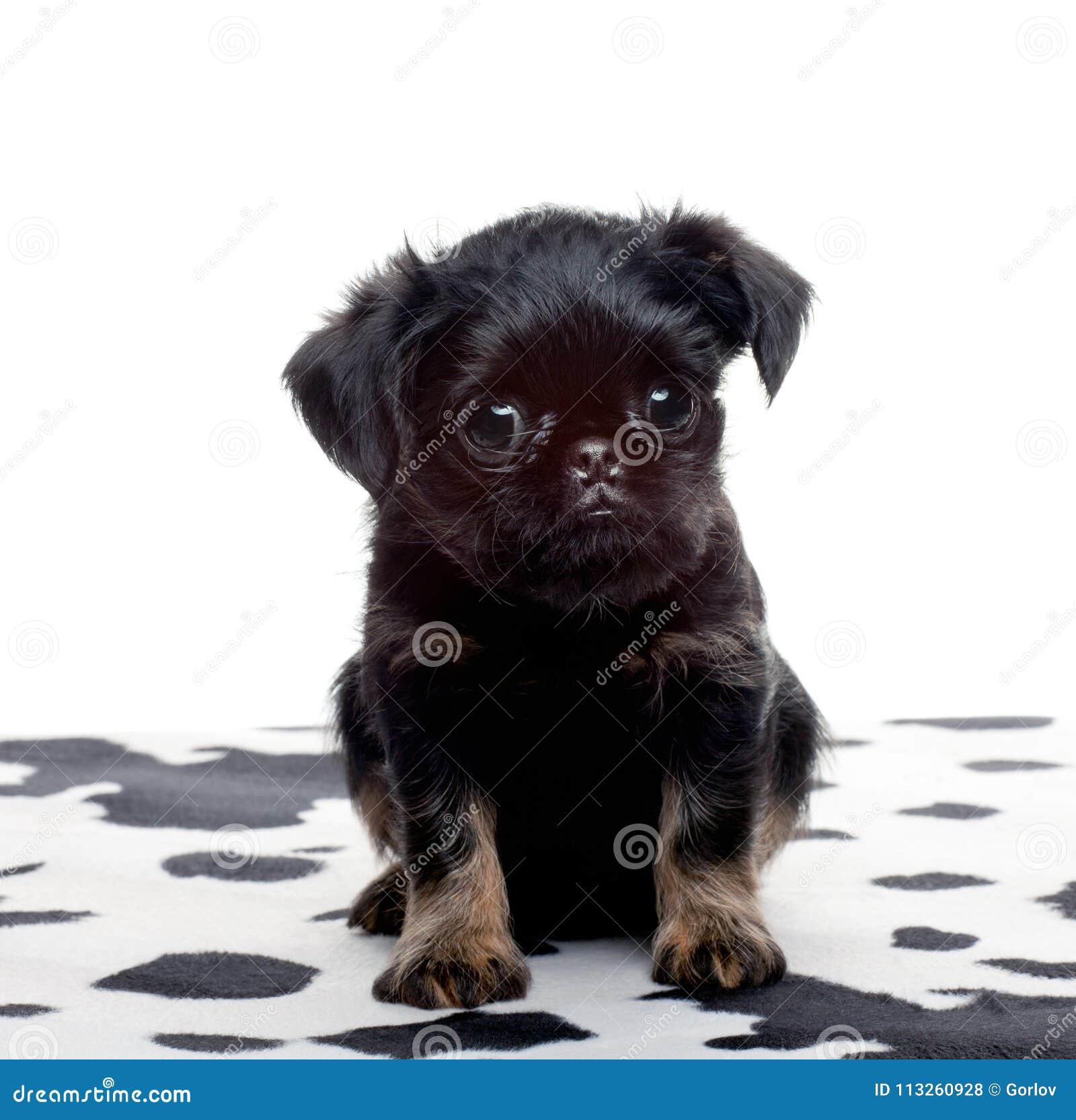 Griffon Baby Dog Studio Quality Stock Photo Image Of Cute