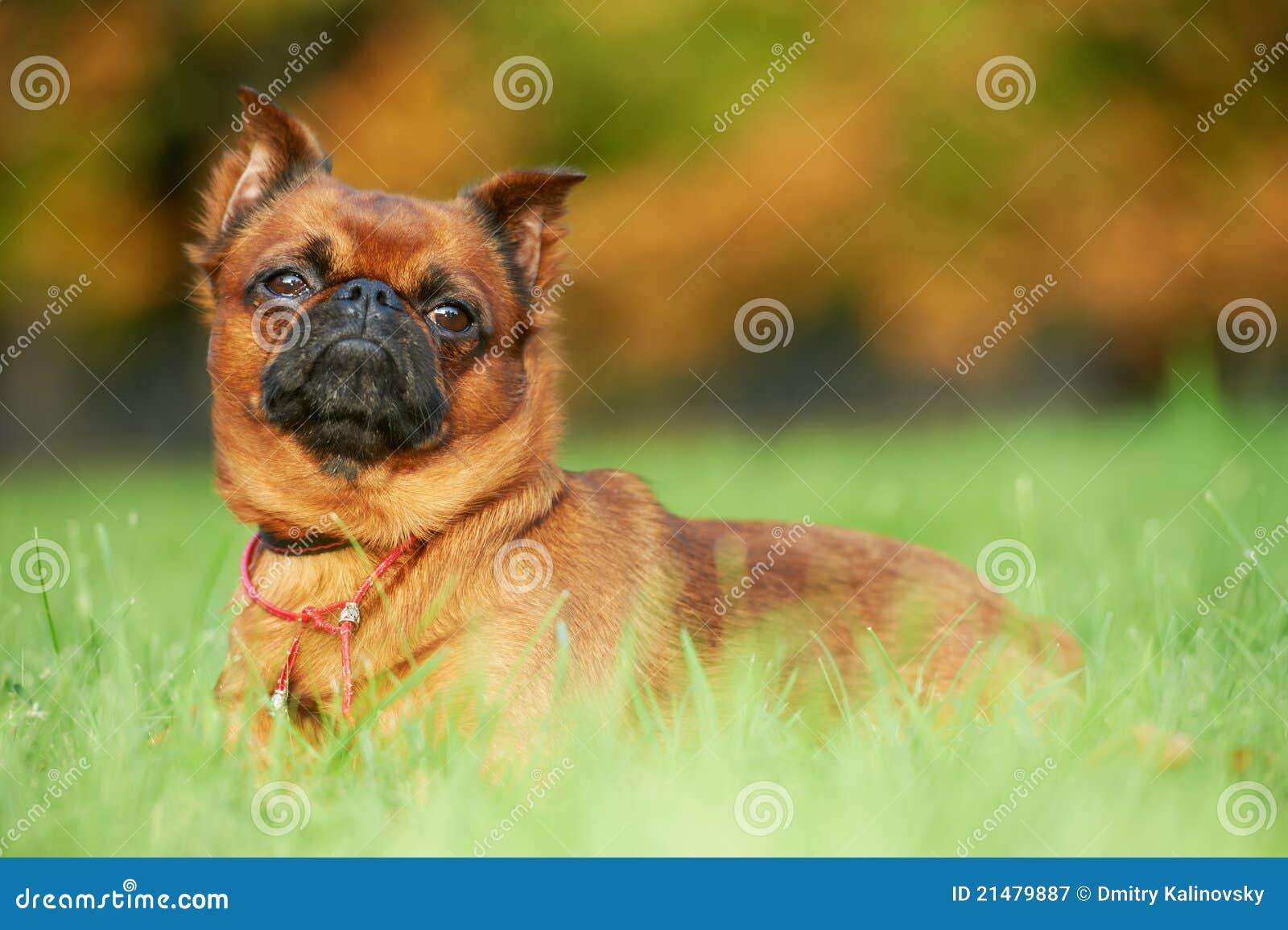 Griffon Brussels petit brabancon dog