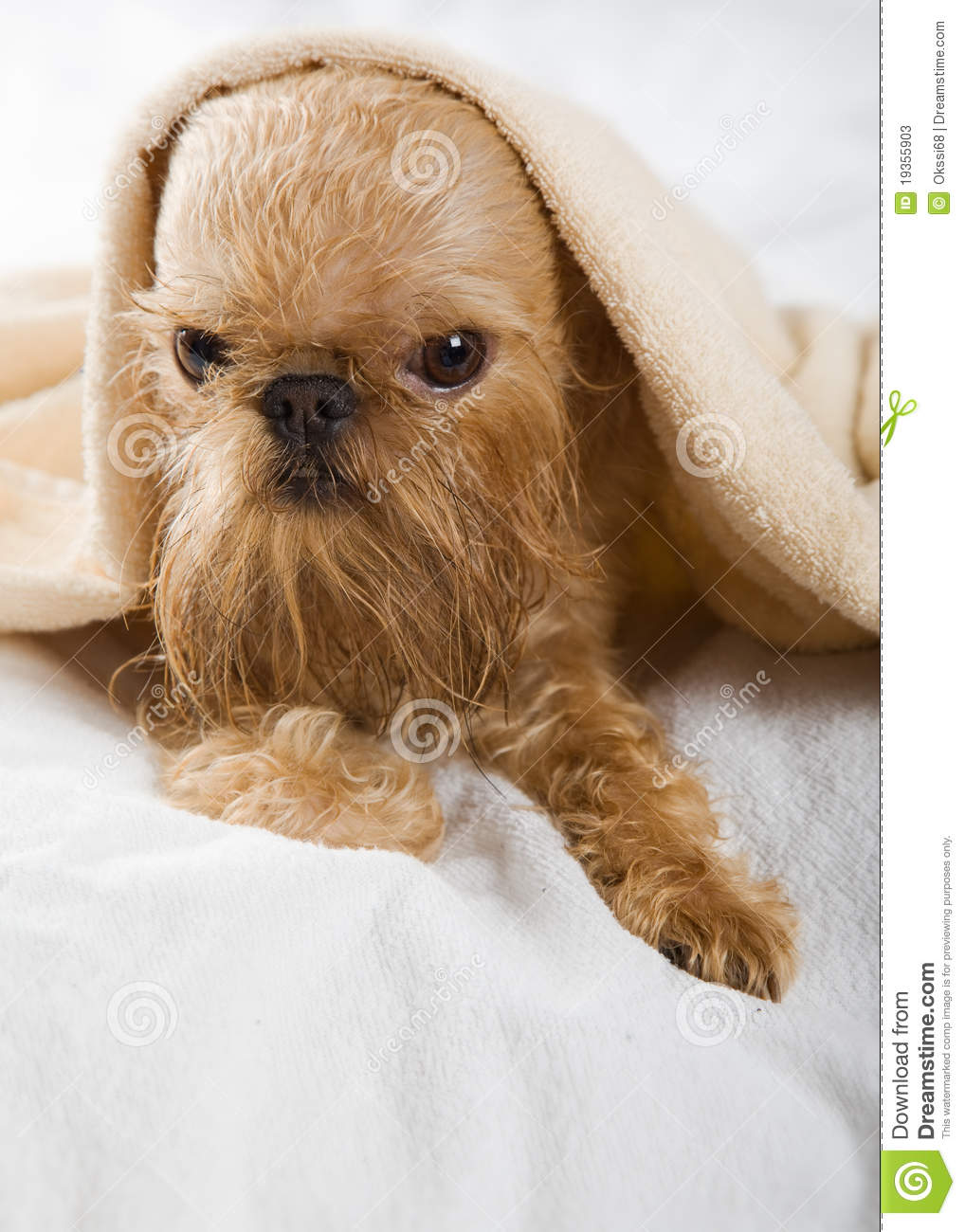 Griffon Bruxellois Stock Image Image Of Breed Canine