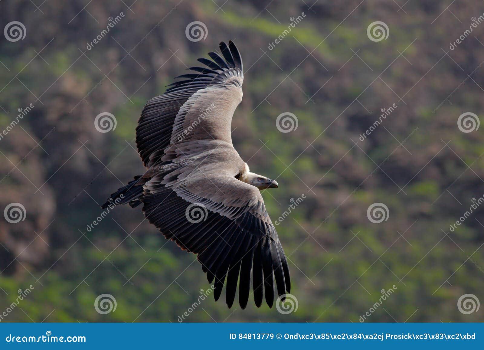Griffon Vulture, fulvus de los Gyps, pájaros grandes del vuelo de la presa sobre el moountain Buitre en la piedra Pájaro en el há