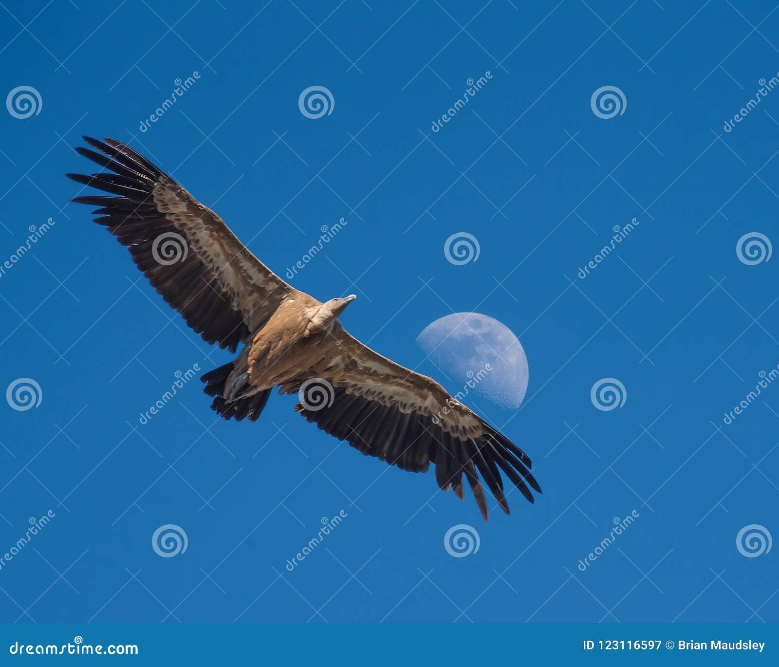 Griffon Vulture gliding against a daytime half Moon, Monfrague,