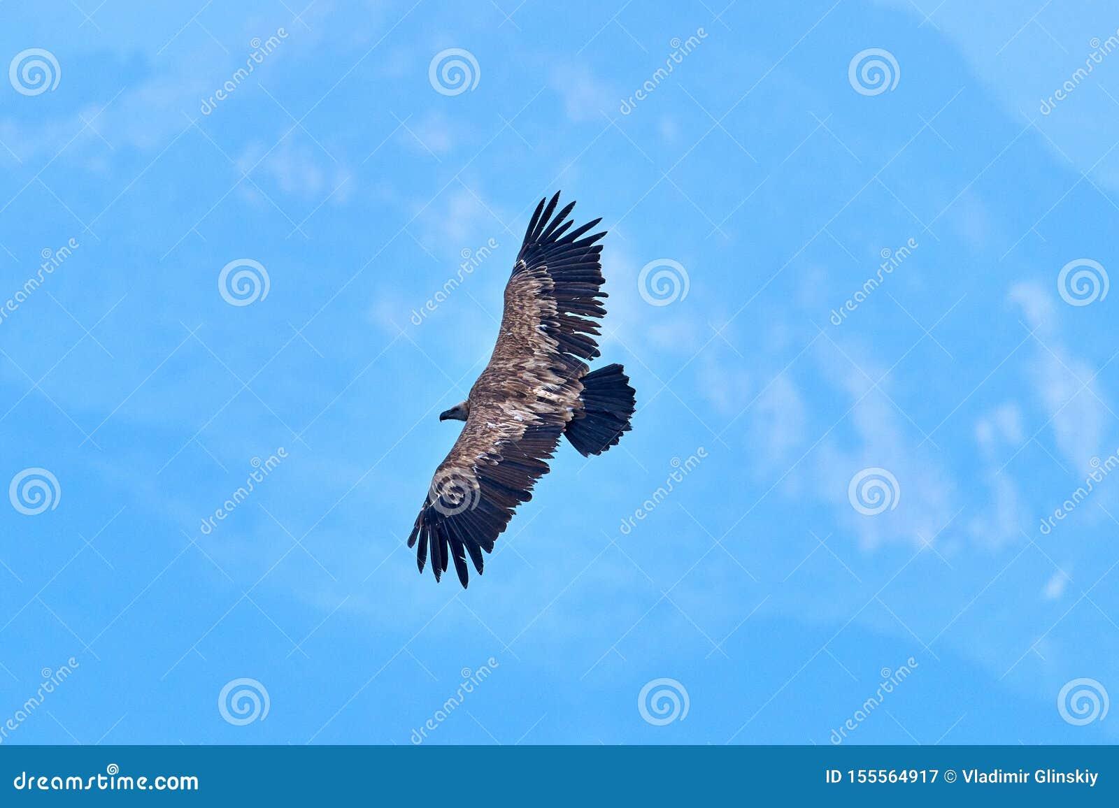 Griffon Vulture Griffin Vulture Geier, Fingerboard, Greif, Gänsegeier G?nsegeierflug