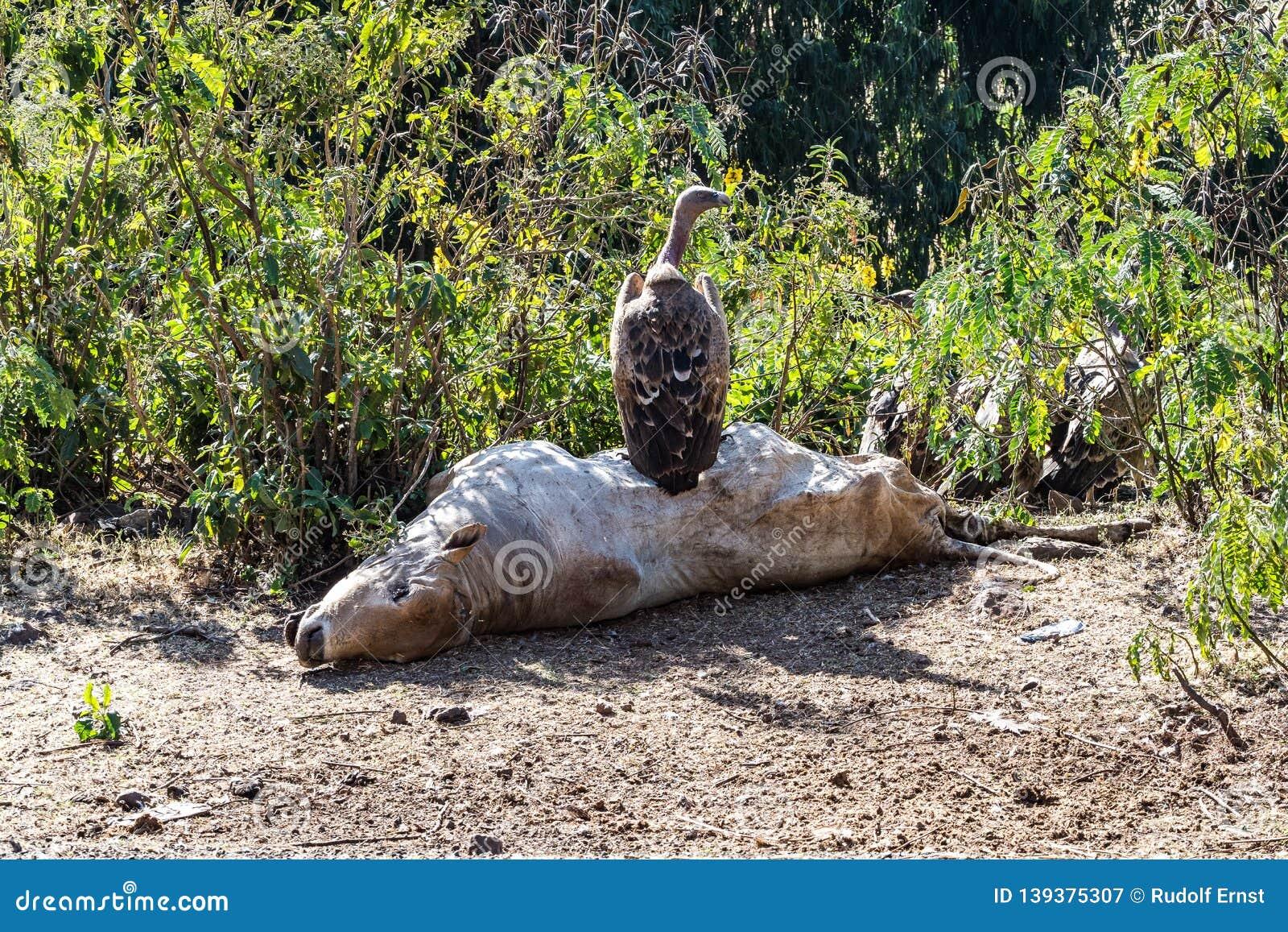 Griffon Vulture Gyps fulvus eating a dead cow in Ethiopia