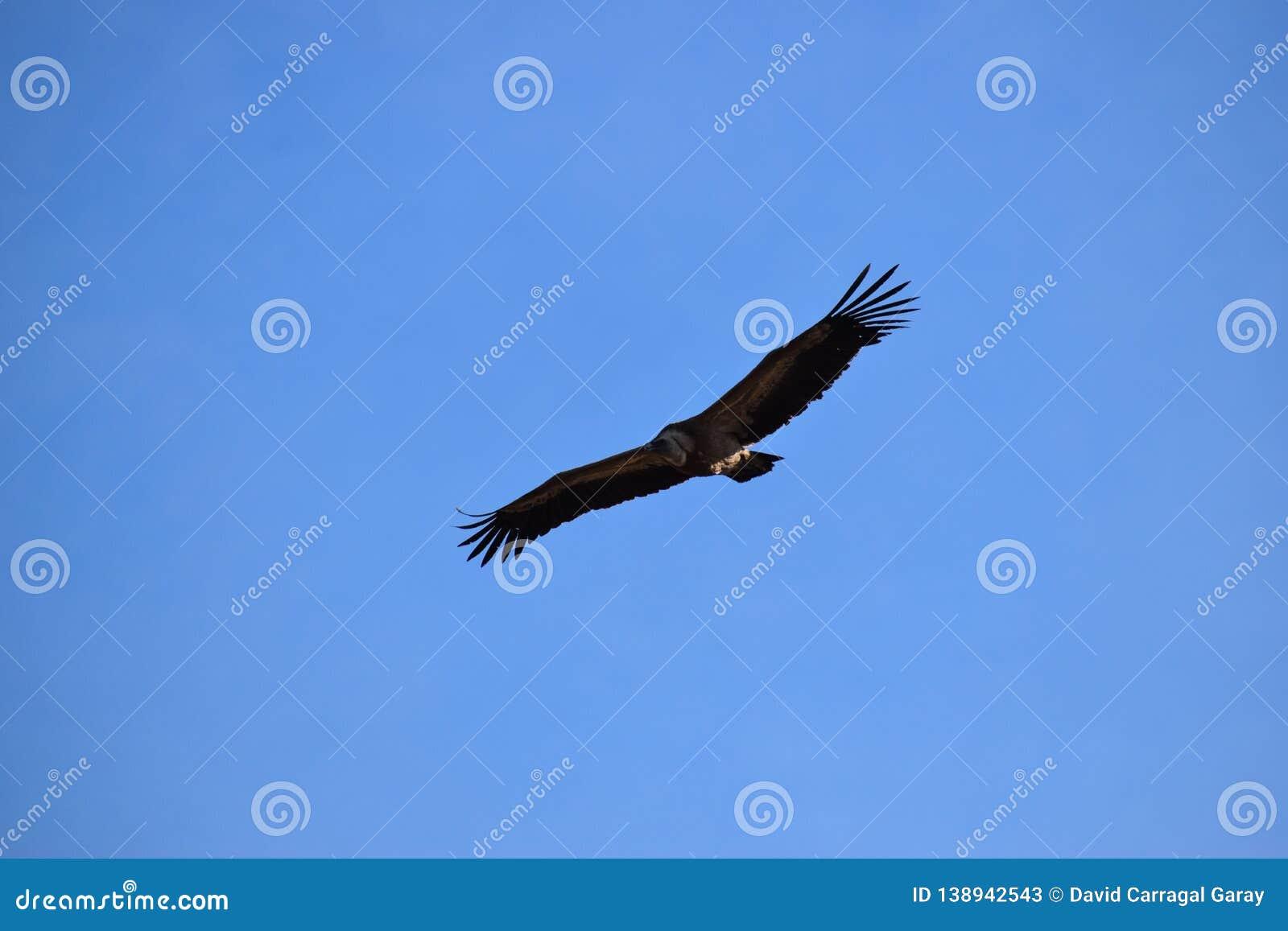 Griffon vulture on the sky