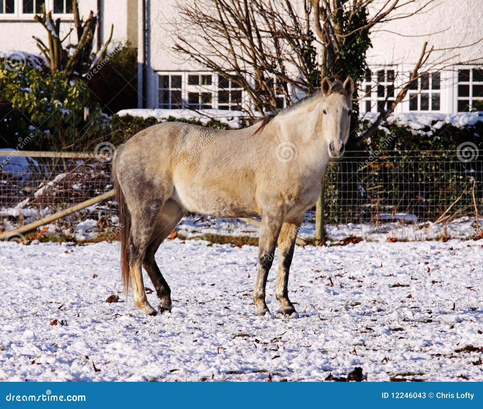 Grijs en wit paard in de sneeuw stock foto 39 s afbeelding 12246043 for Gang grijs en wit