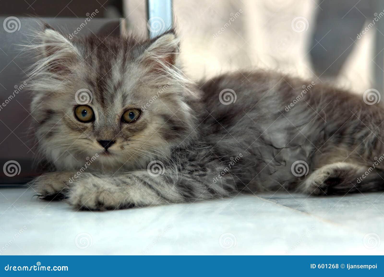 Grijs katje