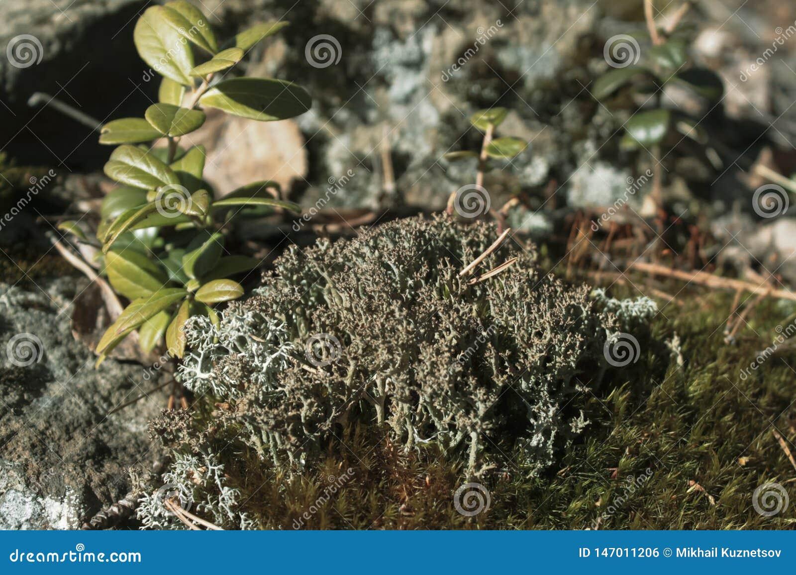 Grijs mos op de rots in het de zomerbos