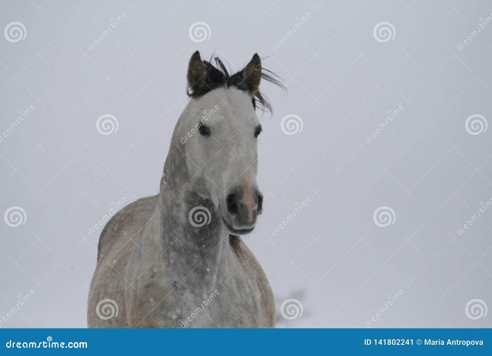 Grijs paardportret op een heuvel van de sneeuwhelling in de winter Kleurenfoto van schaduwen van grijs