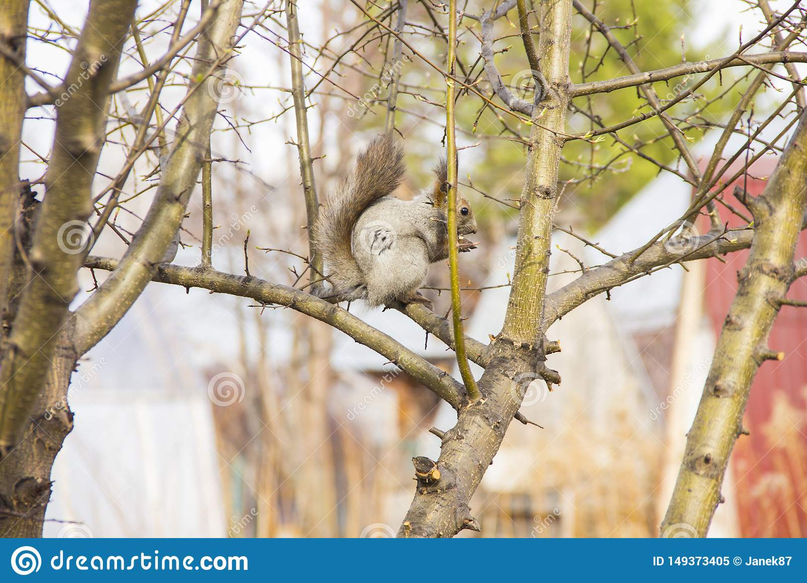 Grijze eekhoornzitting op de takken van een boom zonder bladeren