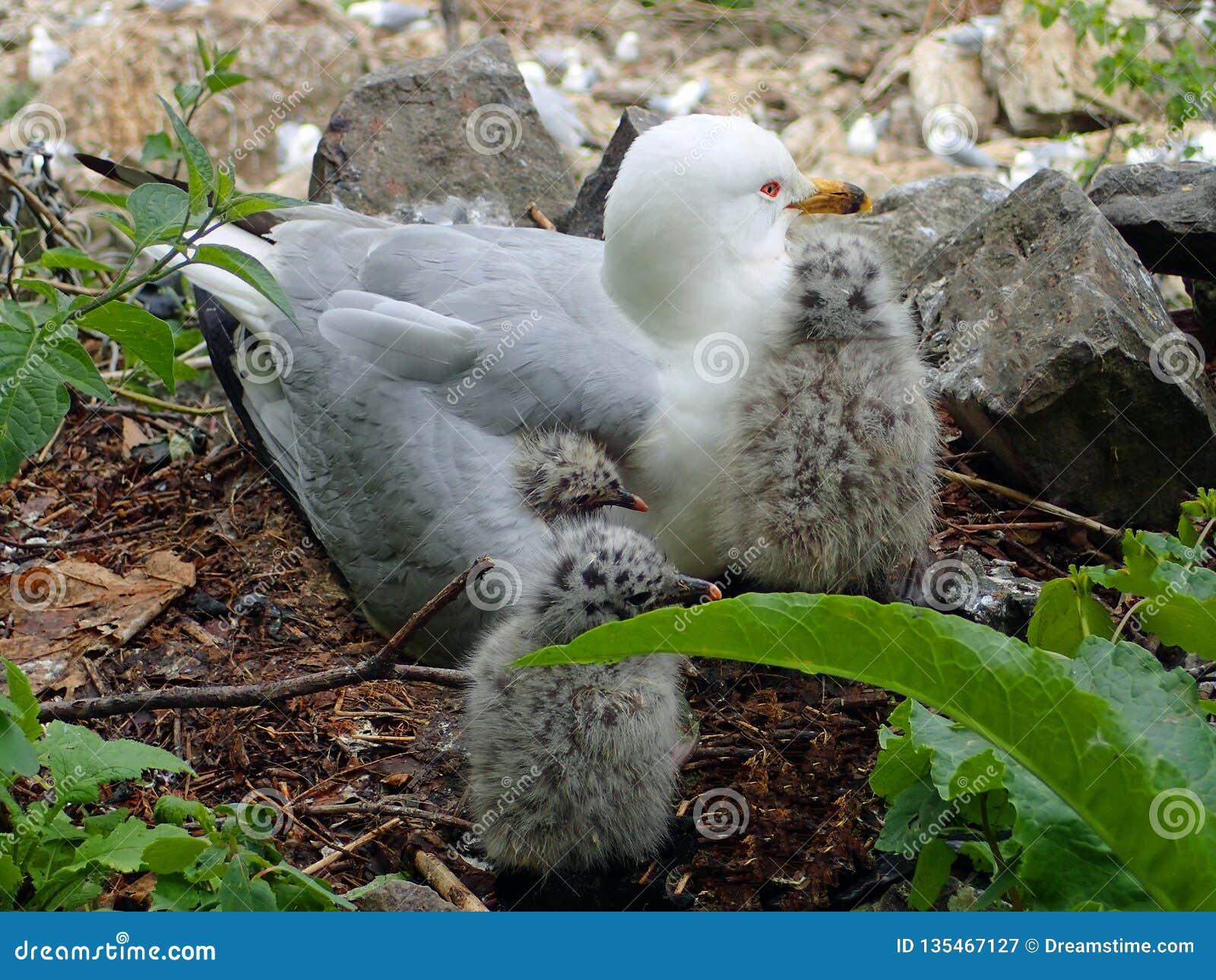 Grijze en witte ring-gefactureerde zeemeeuwzitting in haar nest met 3 kleine babyvogels