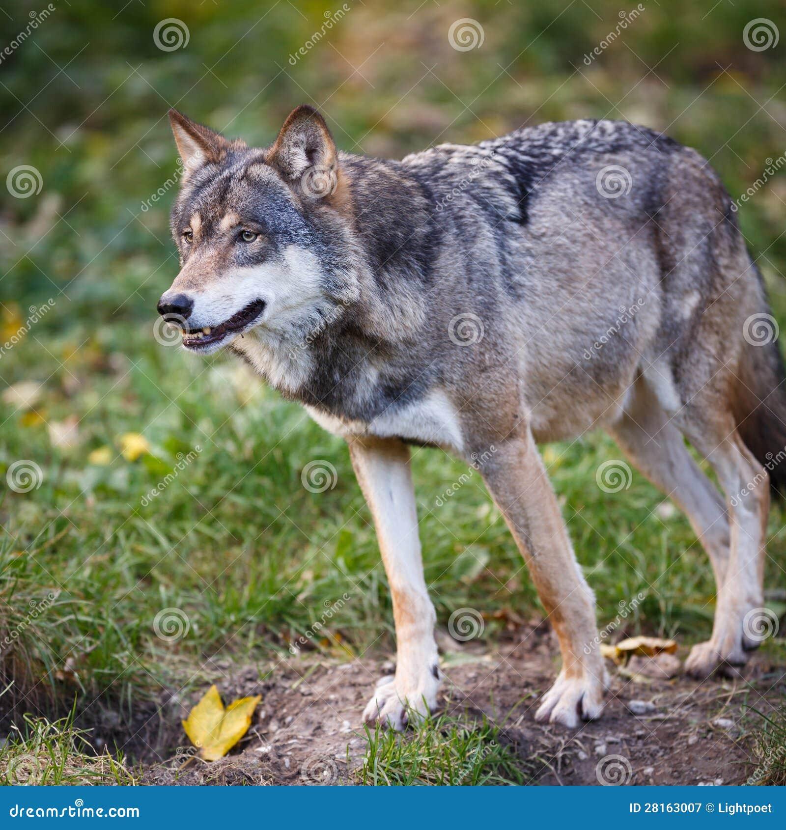 grijze europees aziatische wolf stock afbeelding