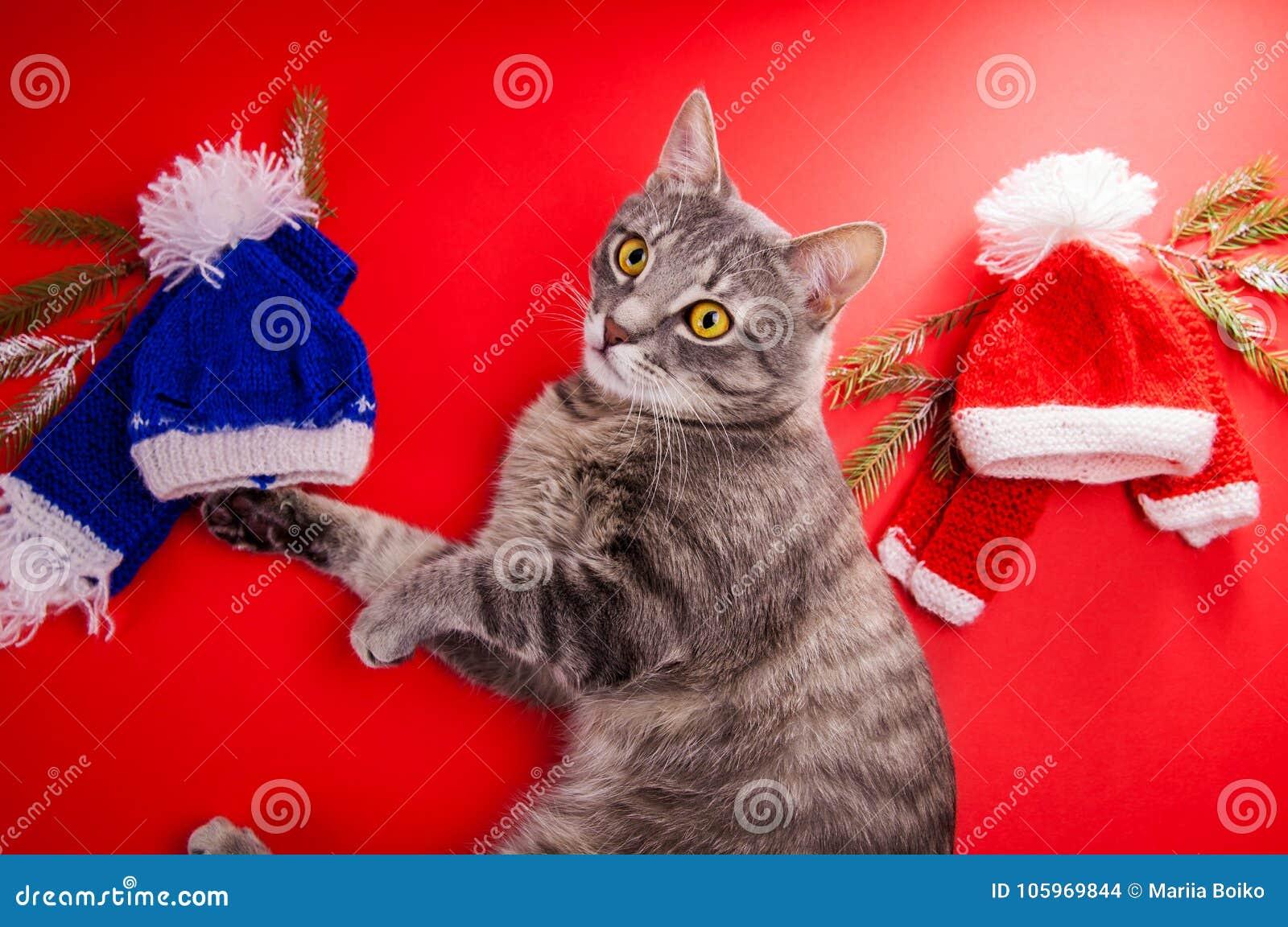 Grijze gestreepte katkat die een de winteruitrusting op rode achtergrond kiezen Taaie keus tussen rode en blauwe hoed en sjaal