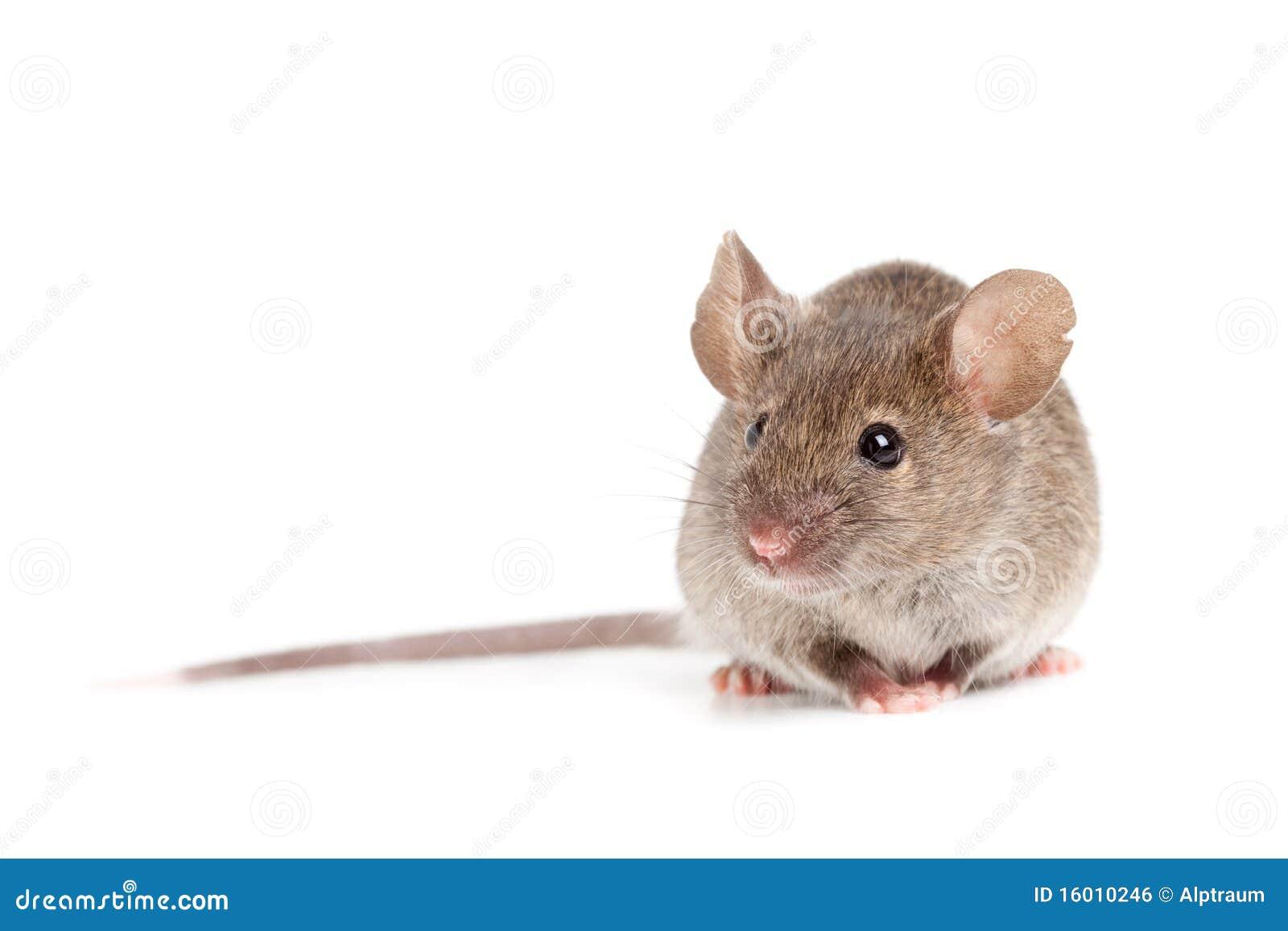 Grijze muis die op wit wordt geïsoleerdÀ