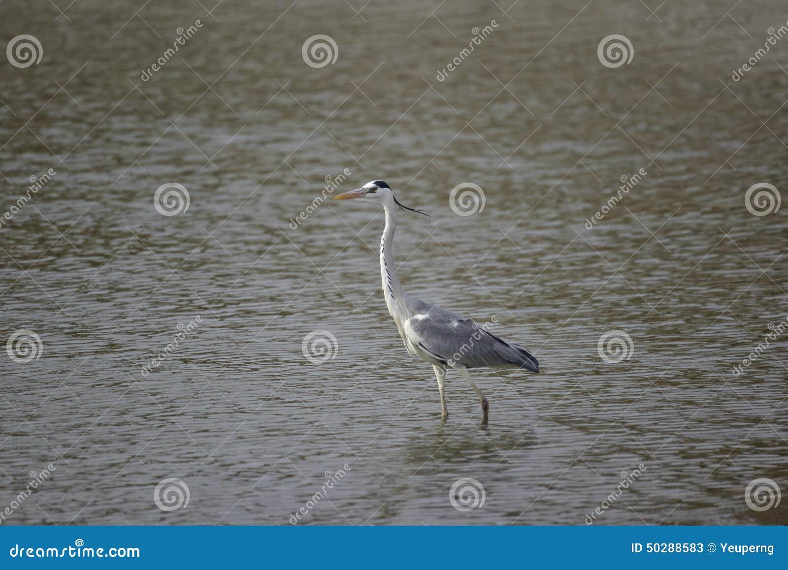 Grijze reiger (de trekvogels van Taiwan)