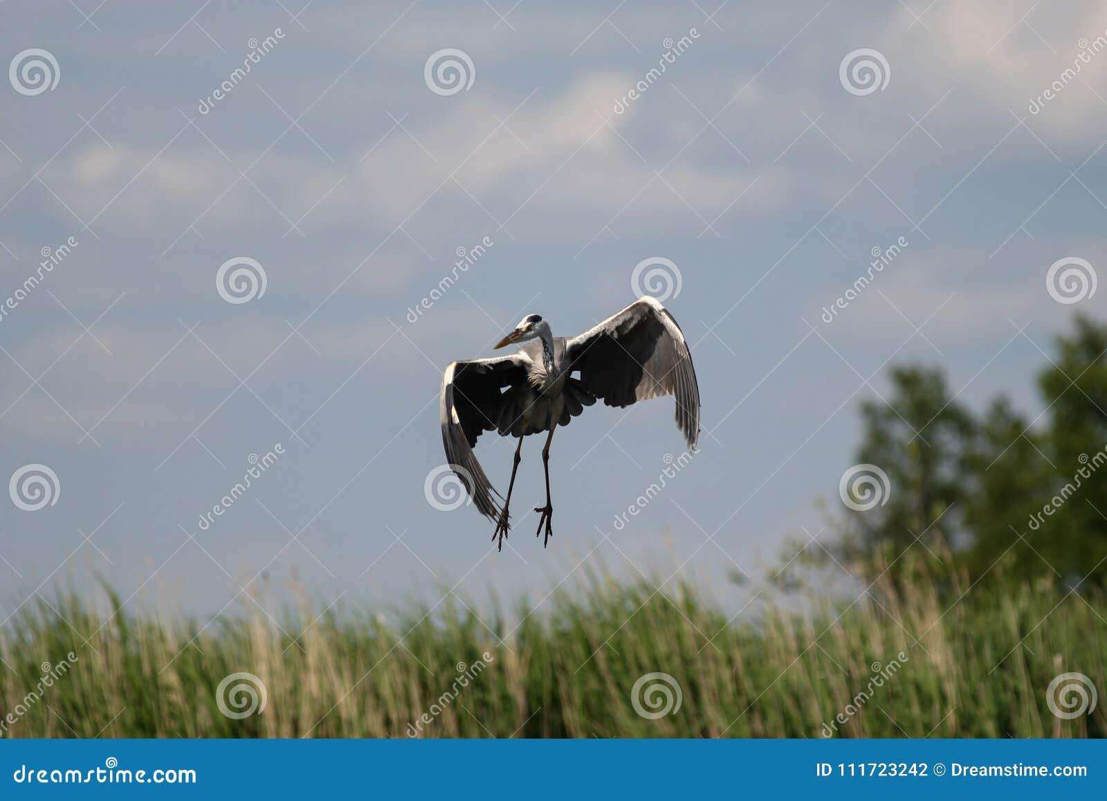 Grijze reiger - een mooie vogel, en een groot vliegenier en een jager