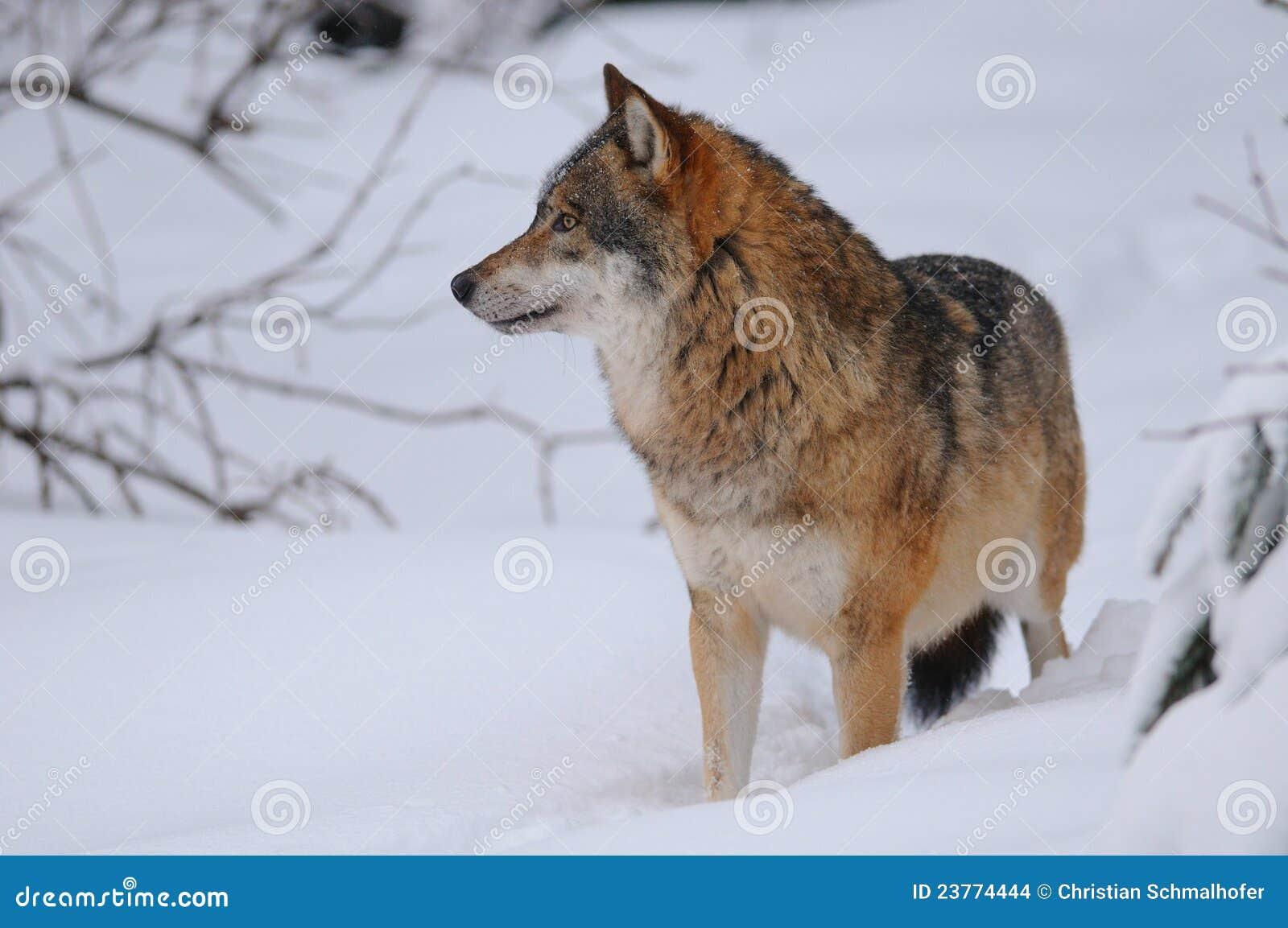grijze wolf stock foto afbeelding bestaande uit canis