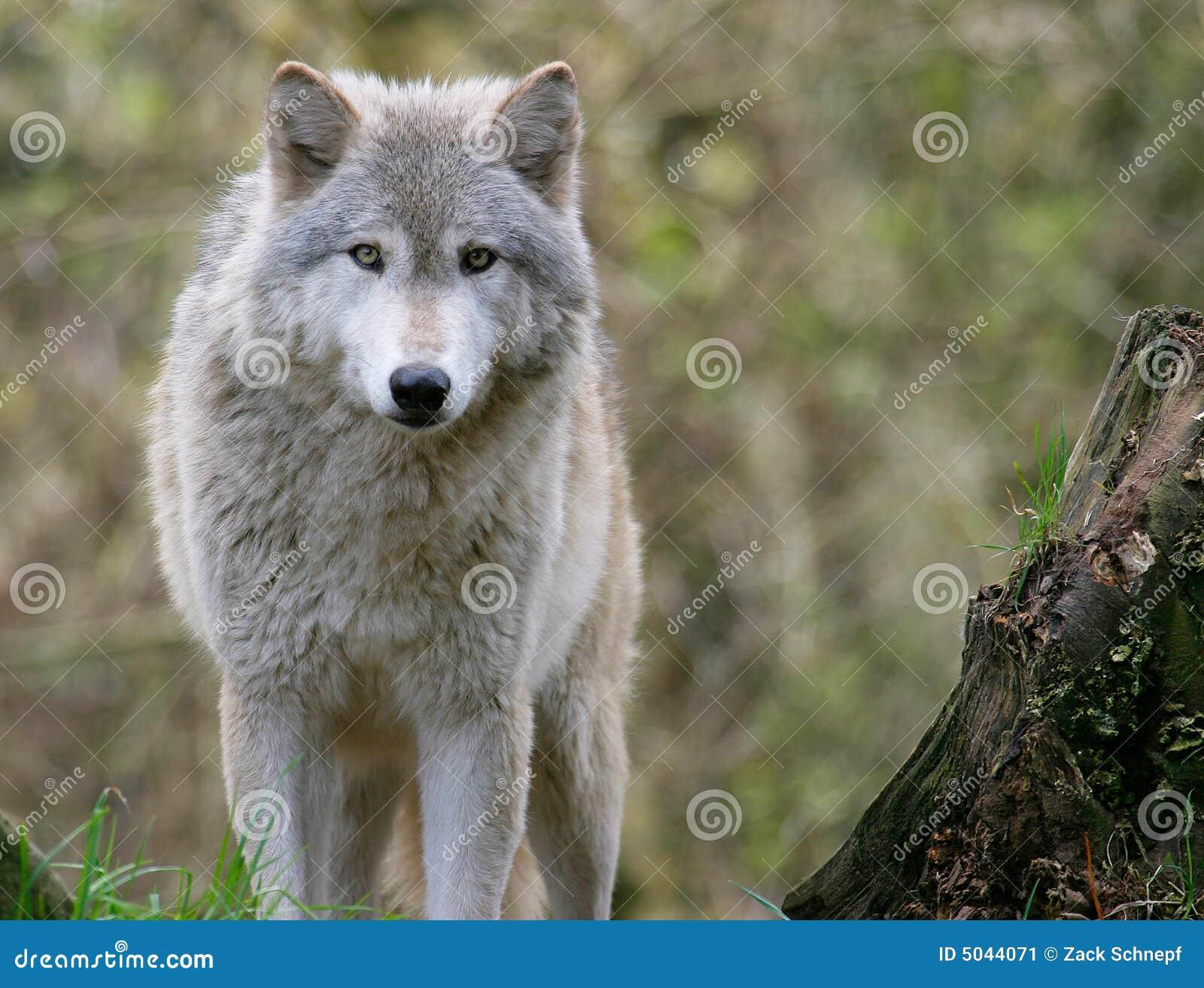 Grijze Wolf Stock Afbeelding Afbeelding Bestaande Uit