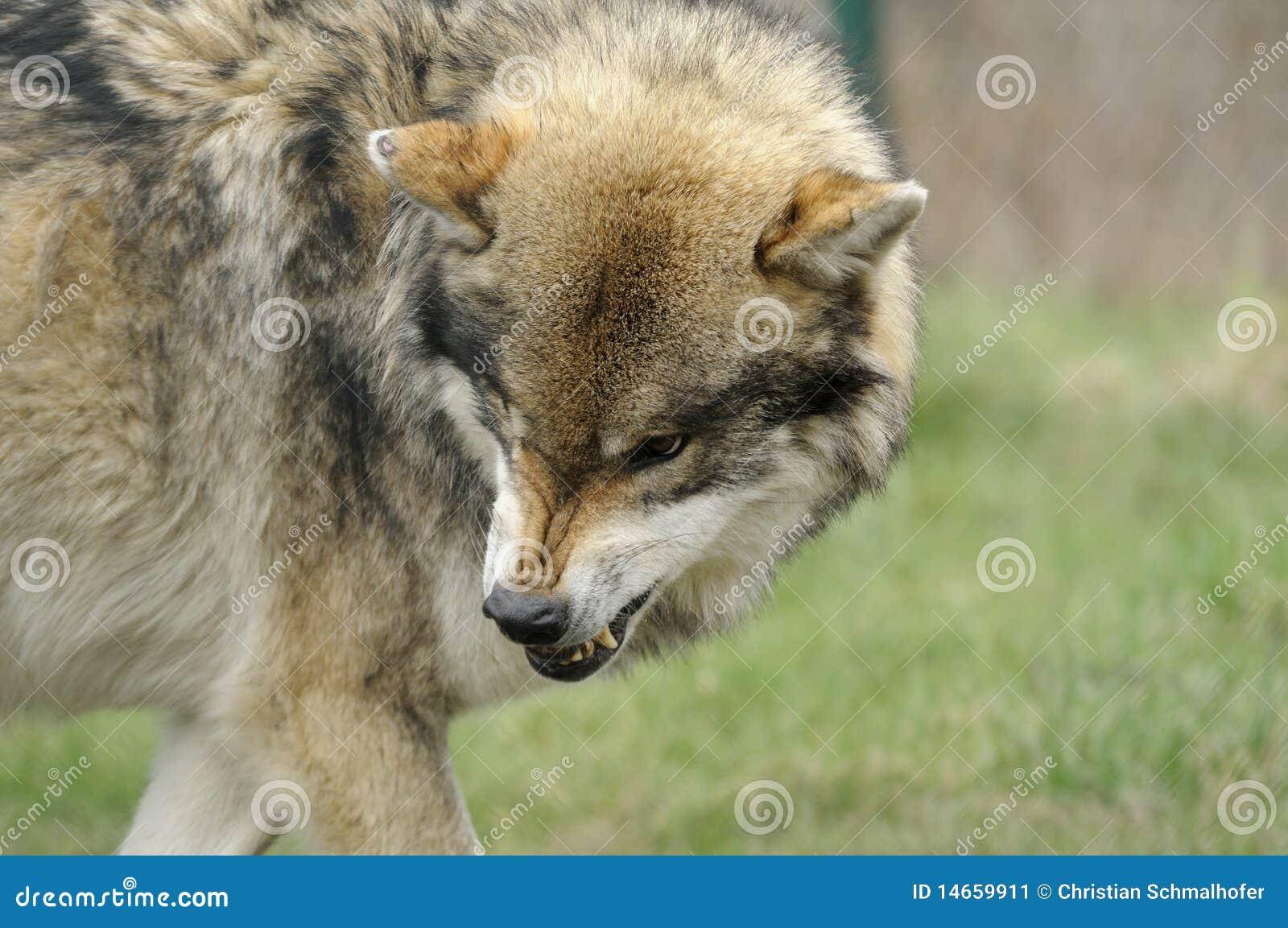 grijze wolf wolfszweer canis stock afbeelding