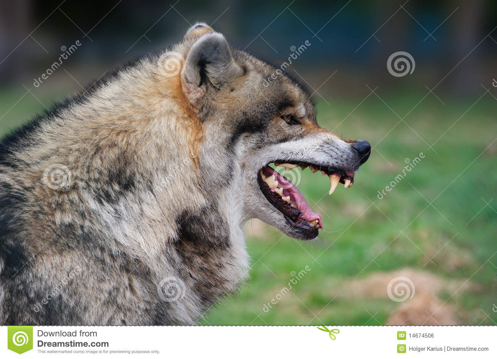 grijze wolf wolfszweer canis stock foto afbeelding