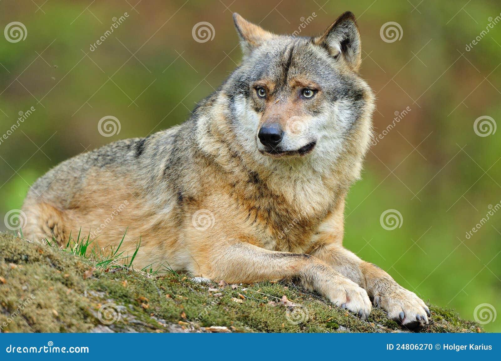 Grijze Wolf (wolfszweer Canis)