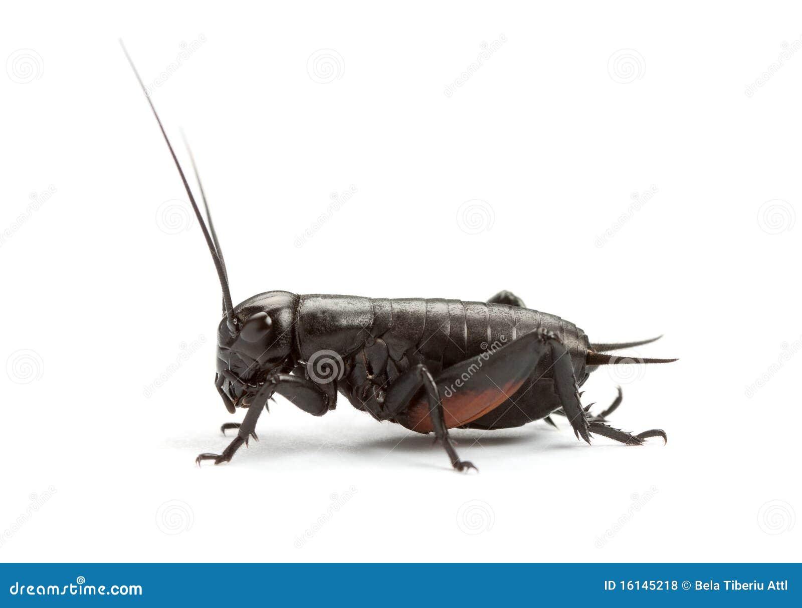 svart Cricket www bf downlod