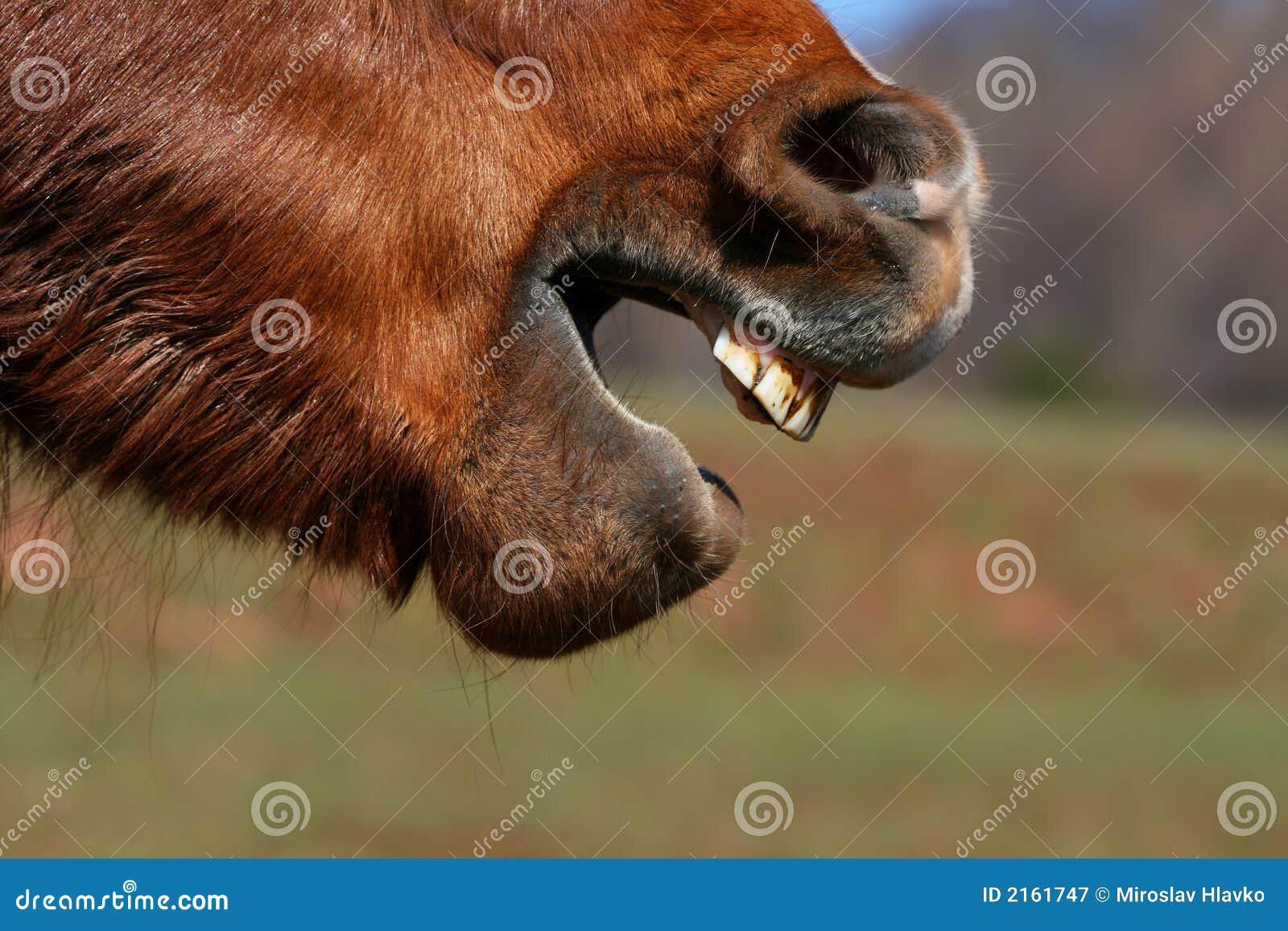 Grimase van het paard