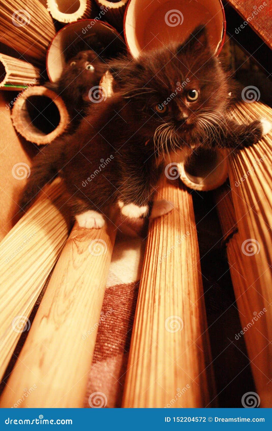 Grimpeur de roche de chaton