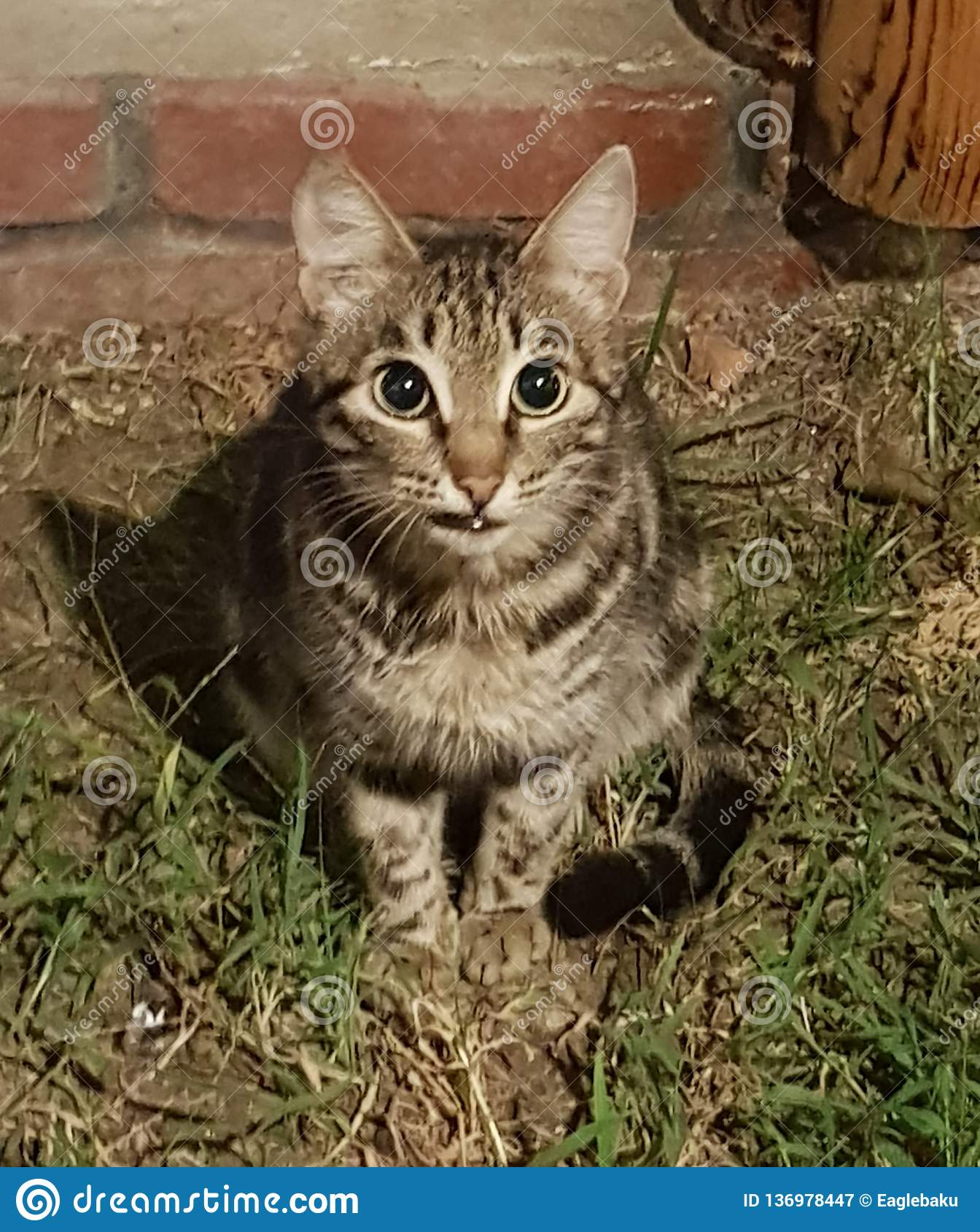 A grinning cat with a displeased glance sits on the grass near the yard on the background of a red brick wall and looks into the