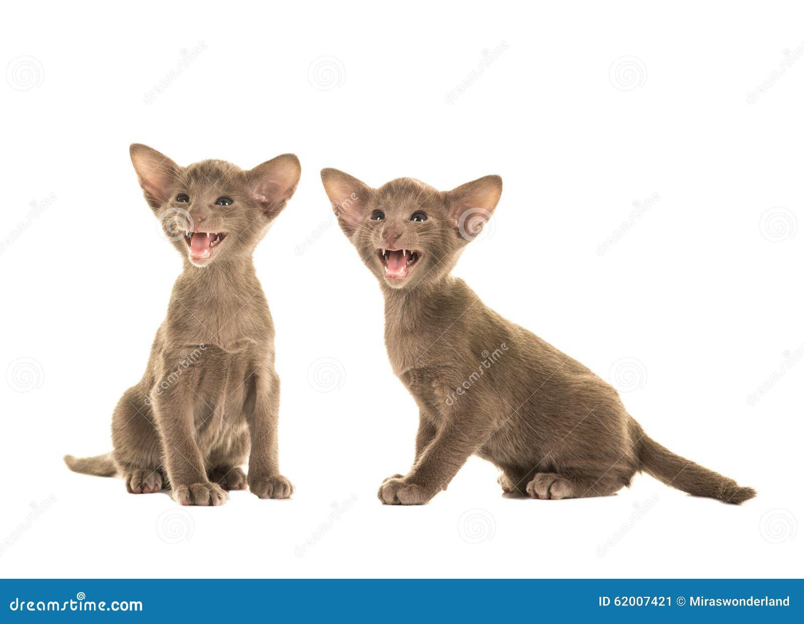 Gris lindo dos que habla gatos siameses del bebé