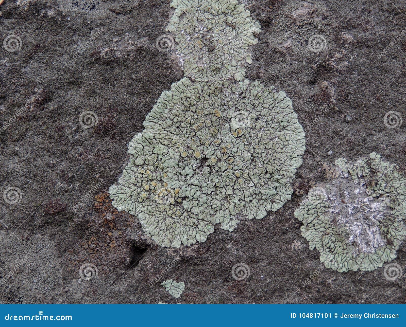 Gris, vert, noir, lichen sur la roche, combinaison symbiotique d un champignon avec algues ou bactérie, fin, macro dans la chute