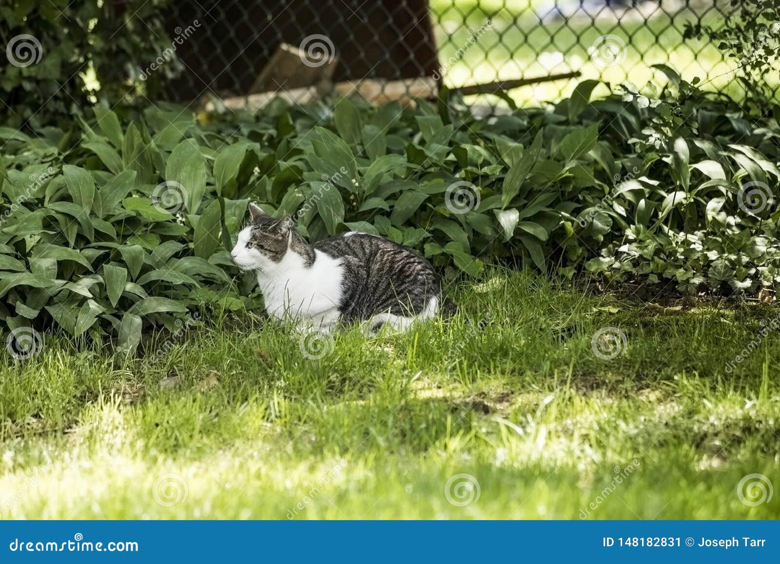 Gris y qué Cat Laying en la hierba verde que mira la presa