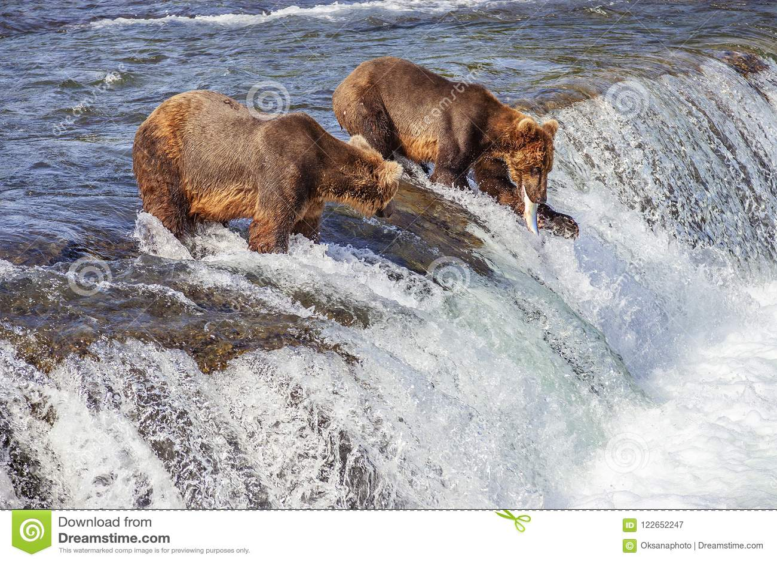 Grisslybjörnar av Katmai NP