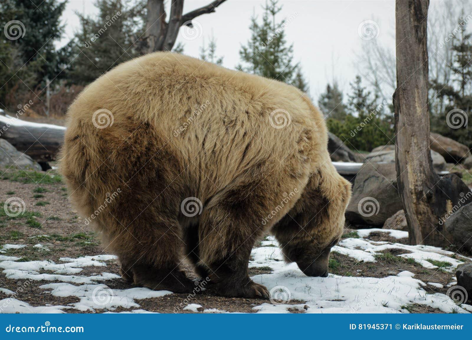 Grizzley björn som söker efter föda för mat