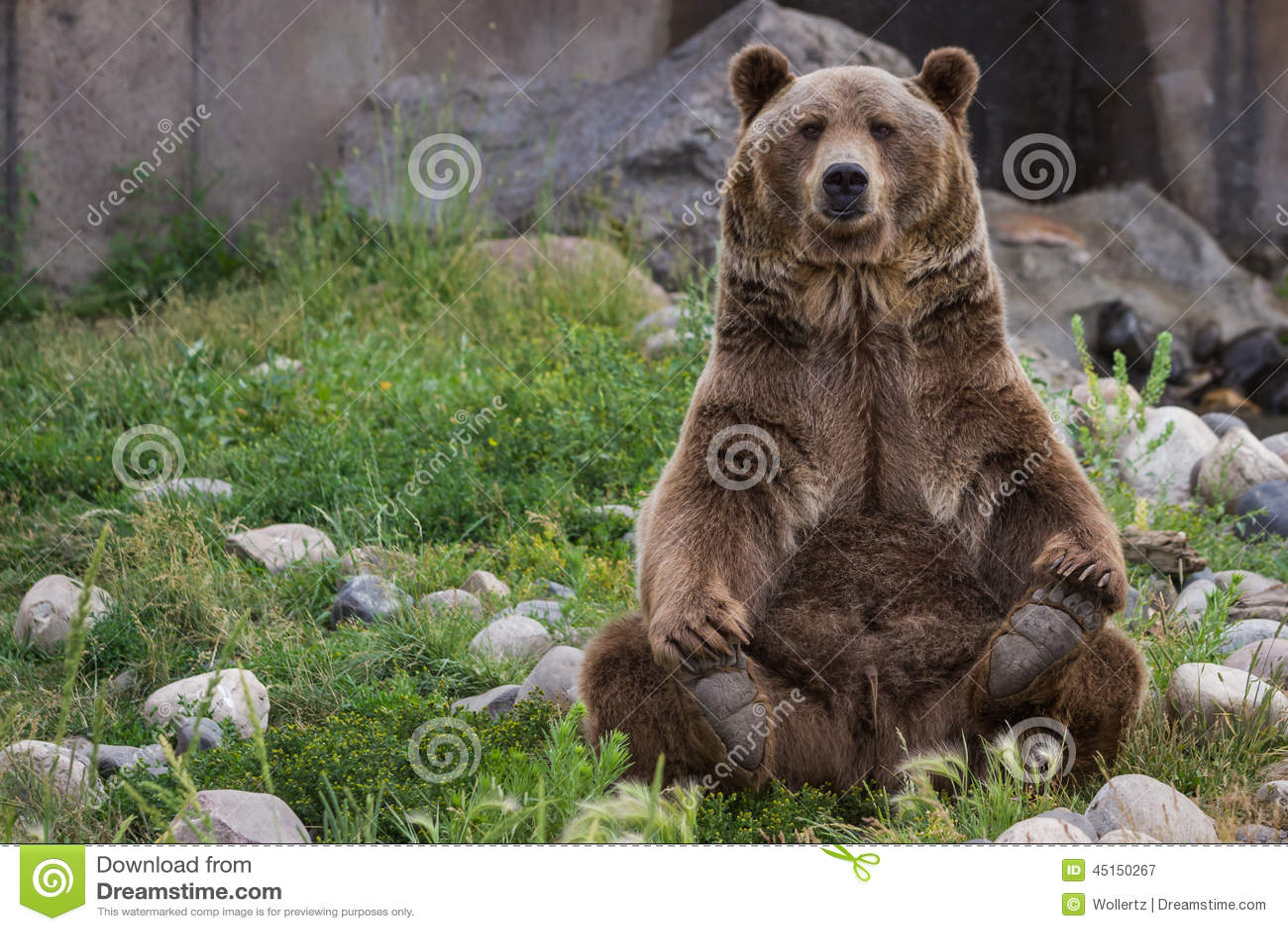 Grizzley draagt voederend voor voedsel