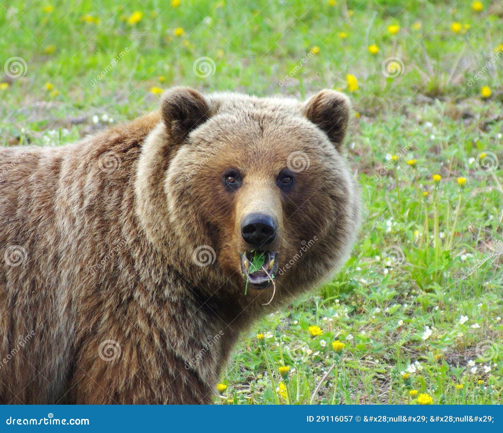 Grizzly Żuć