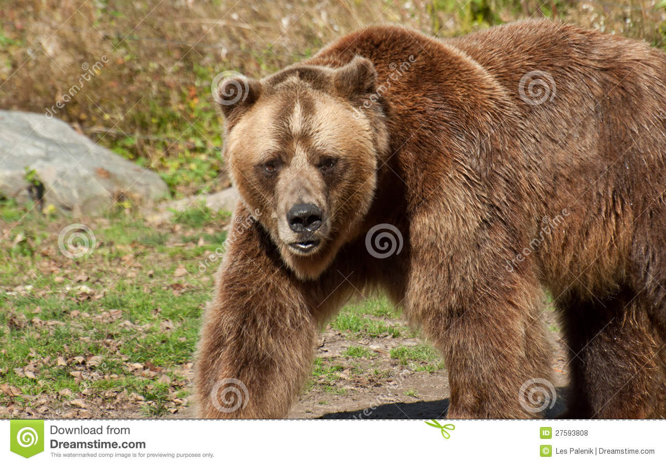 Grizzly Bear Royalty Free Stock Photos Image 27593808